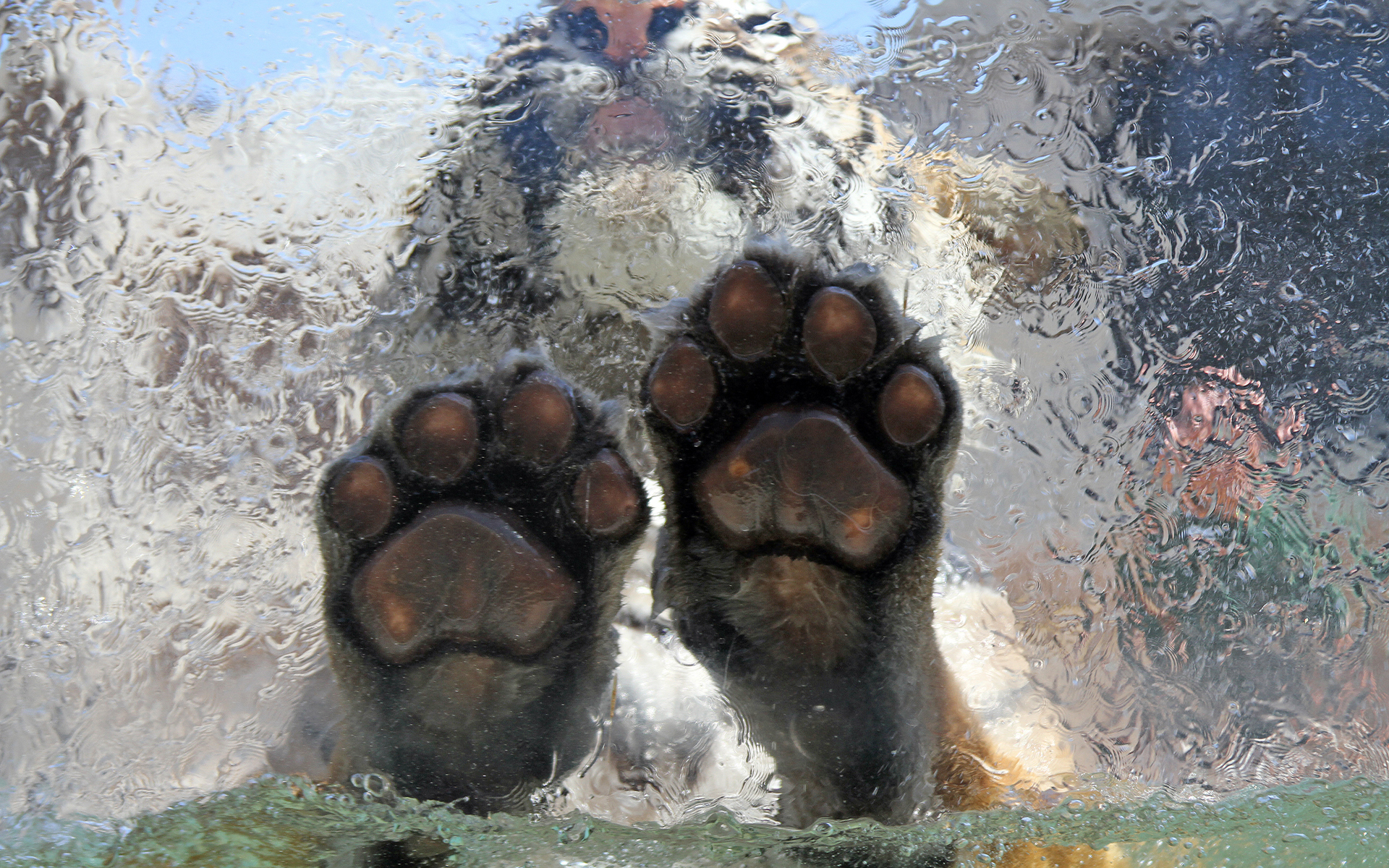 Tiger paws underwater