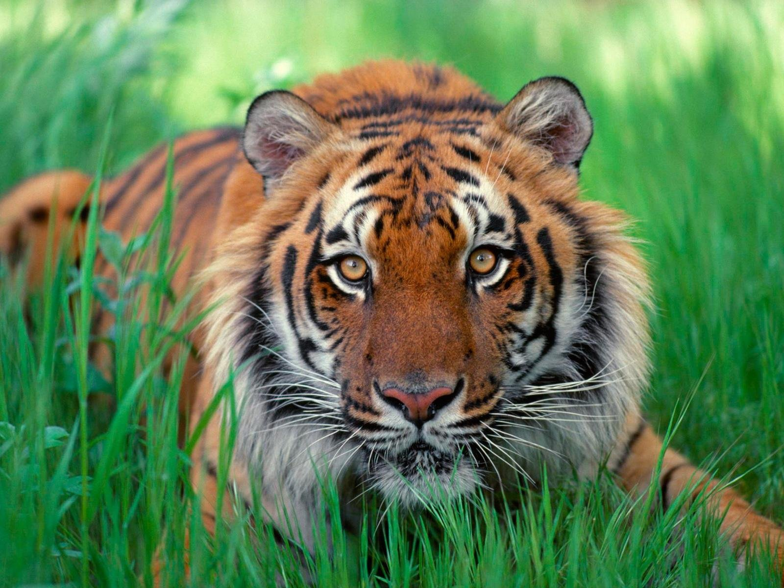 Tiger- Photo#04