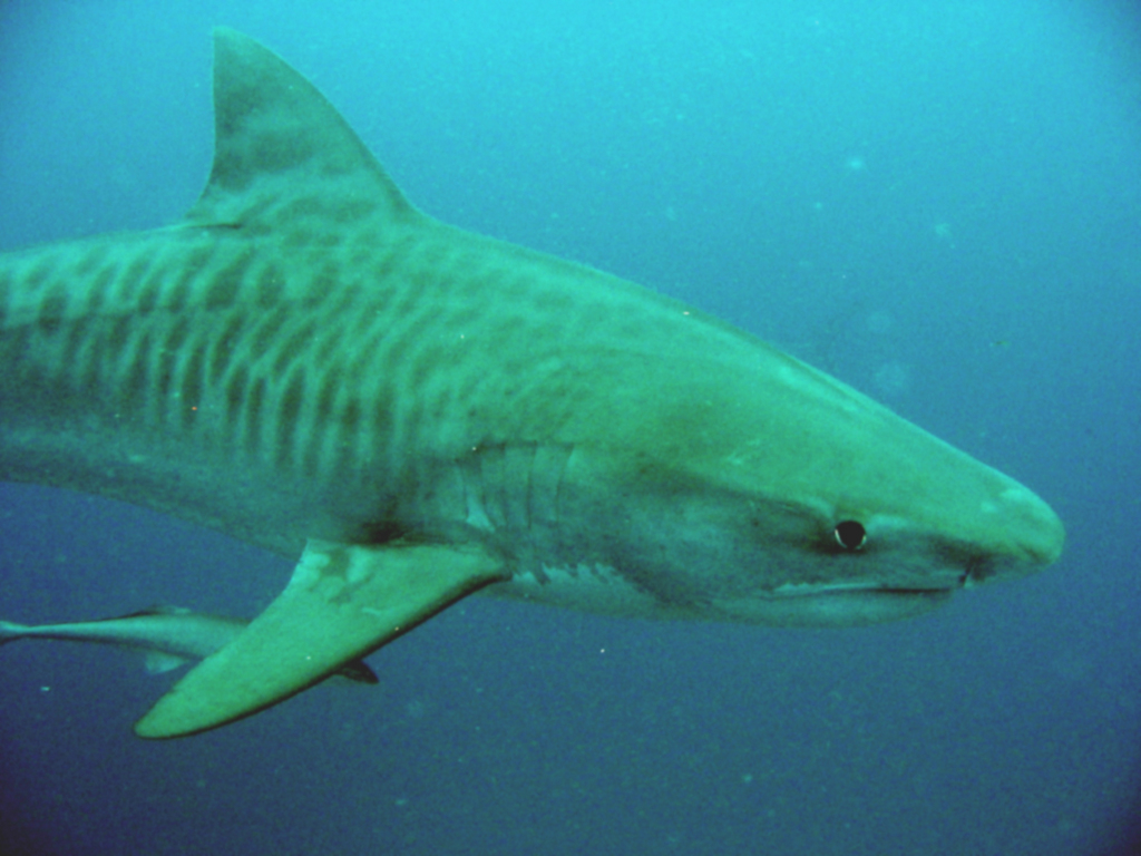"Next question: Do tiger sharks attack humans? According to SharkSurvivor.com, ""the tiger shark has attributed to 29 deaths out of 116 recorded attacks since ..."