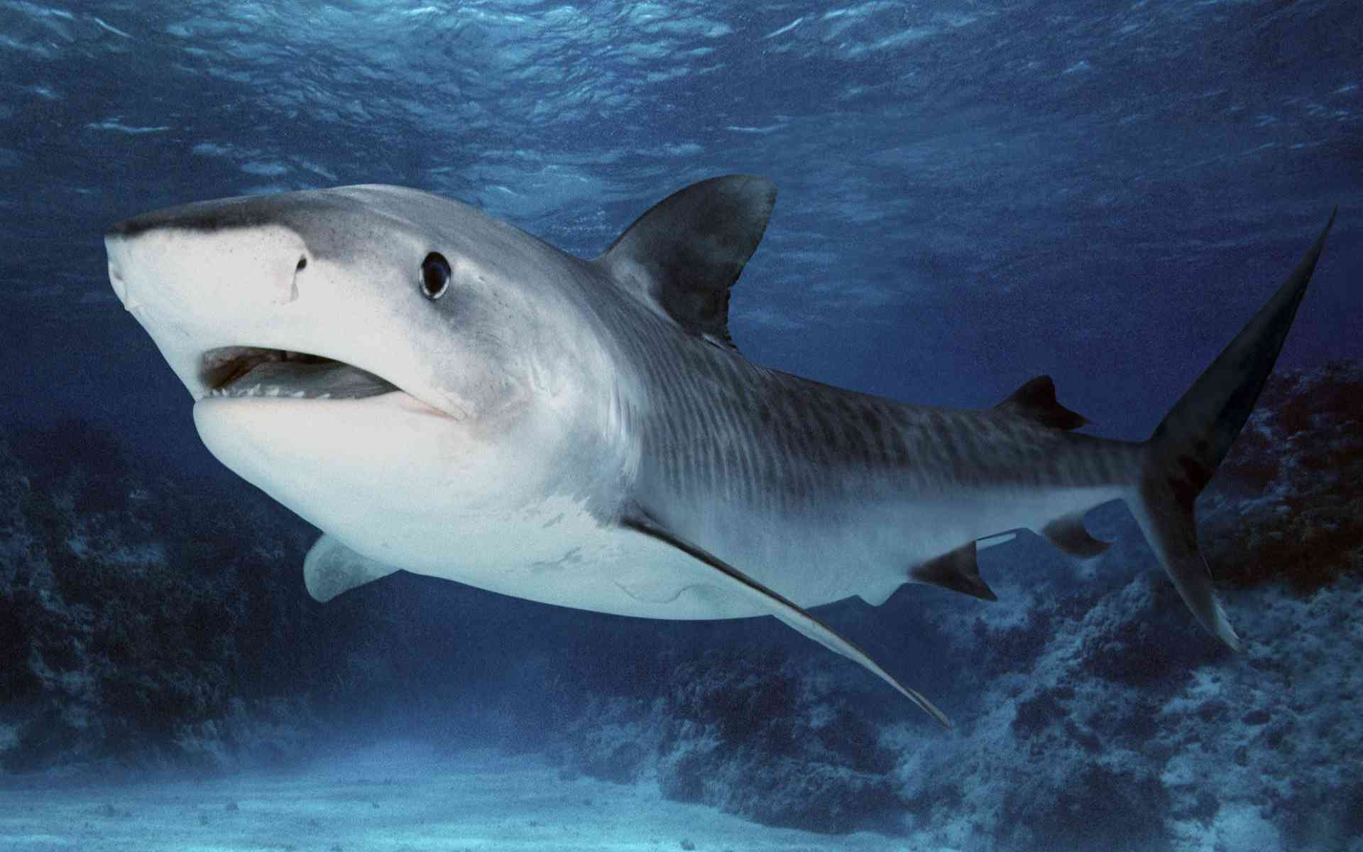 DOWNLOAD: tiger shark wallpaper free picture 2560 x 1600