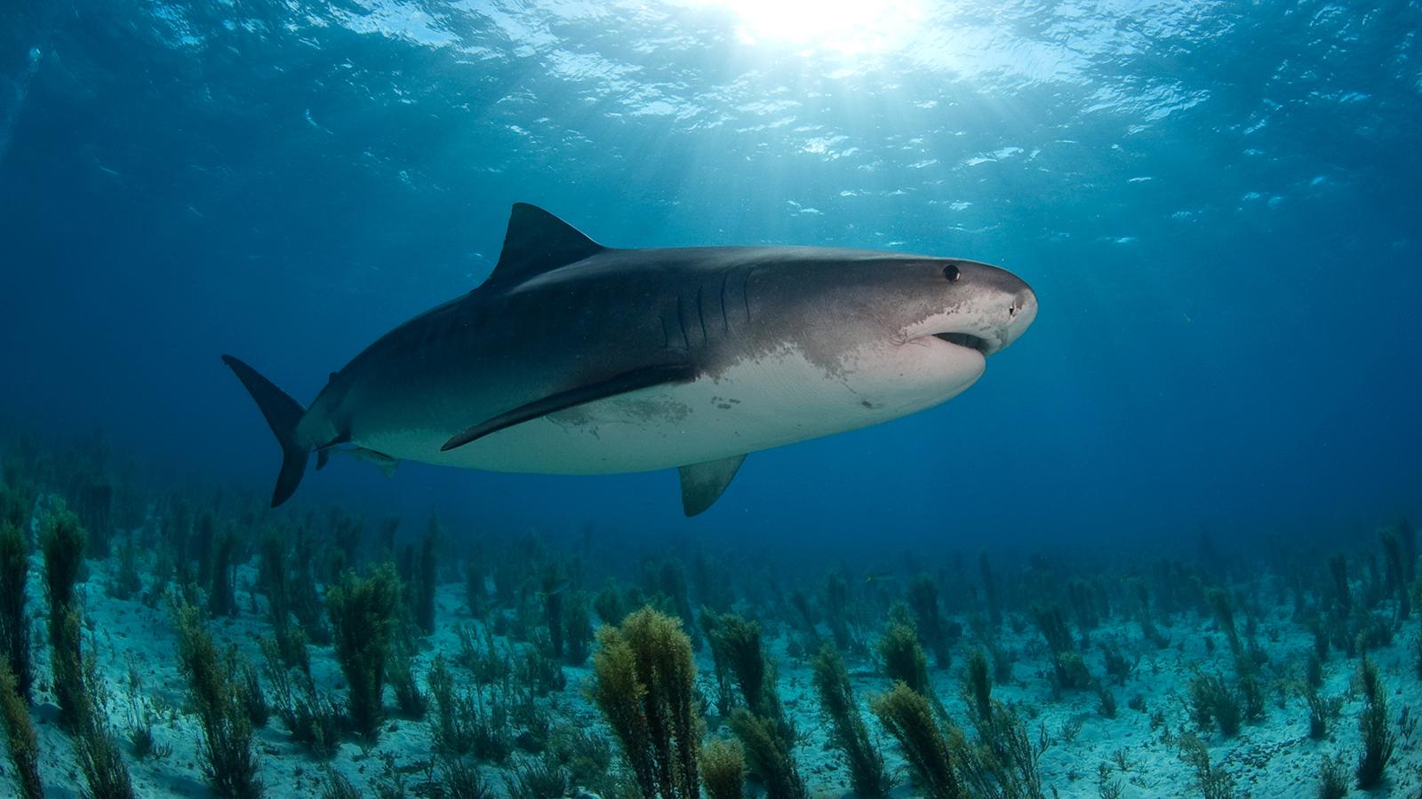 tiger shark 1280x800 - photo #3