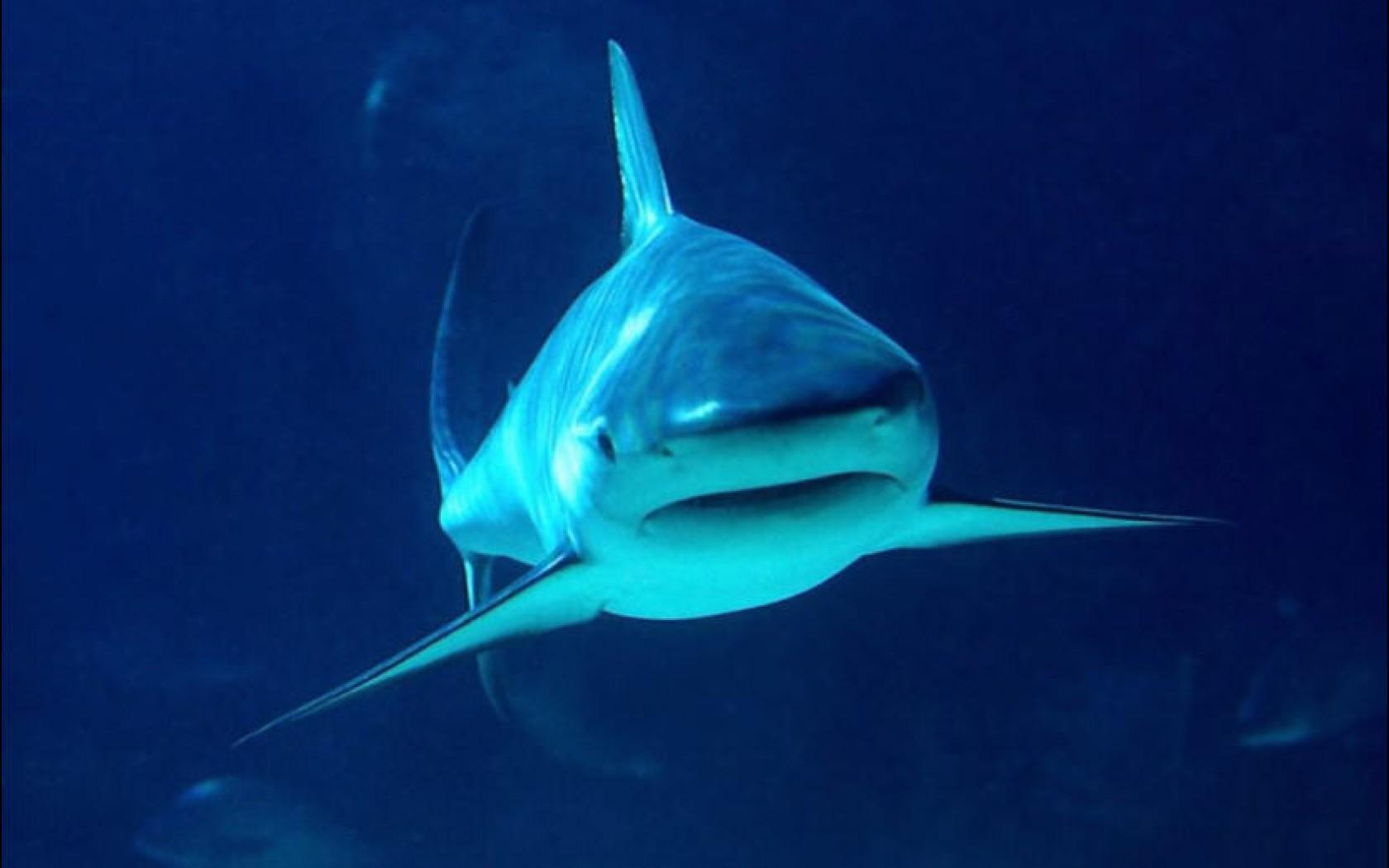 Tiger Shark 1680 × 1050