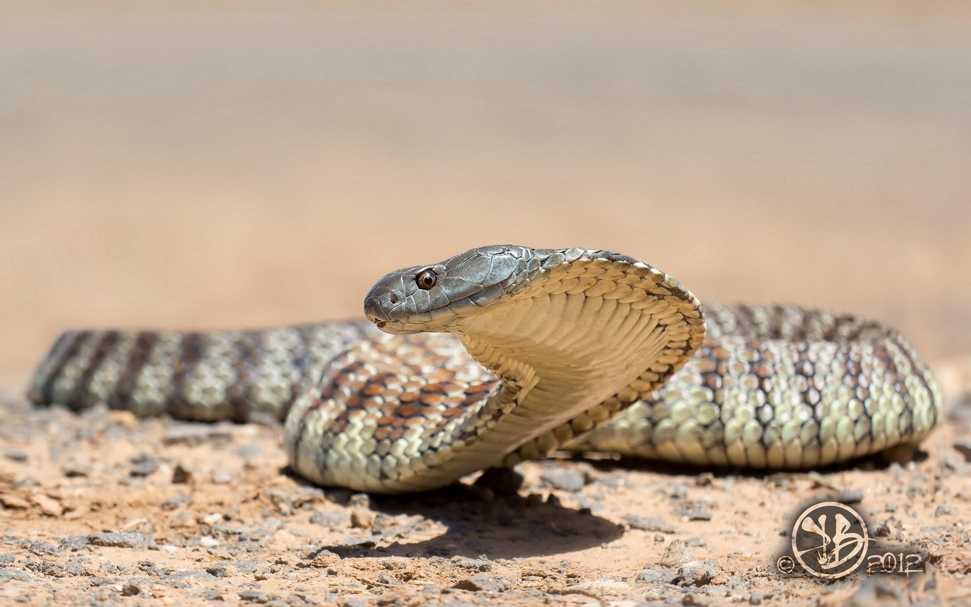 Tiger Snake Nature