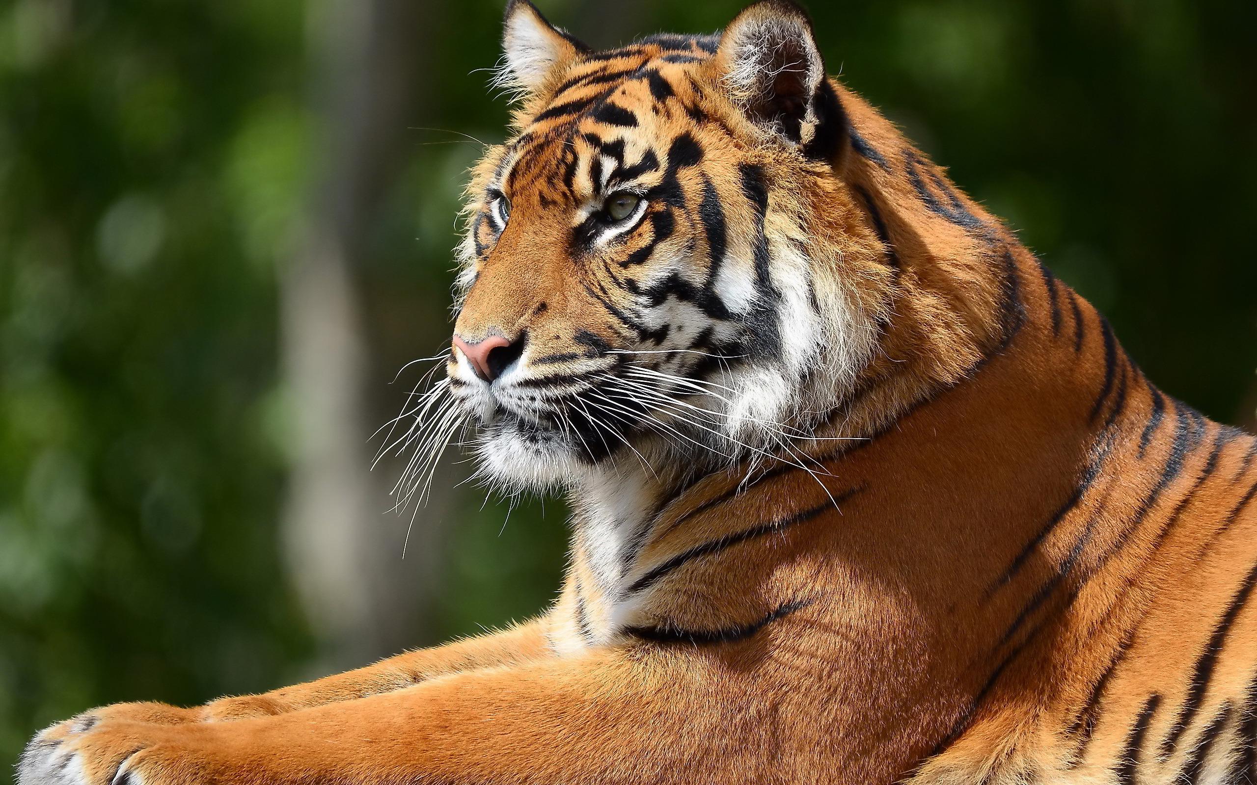 Tiger sunbath