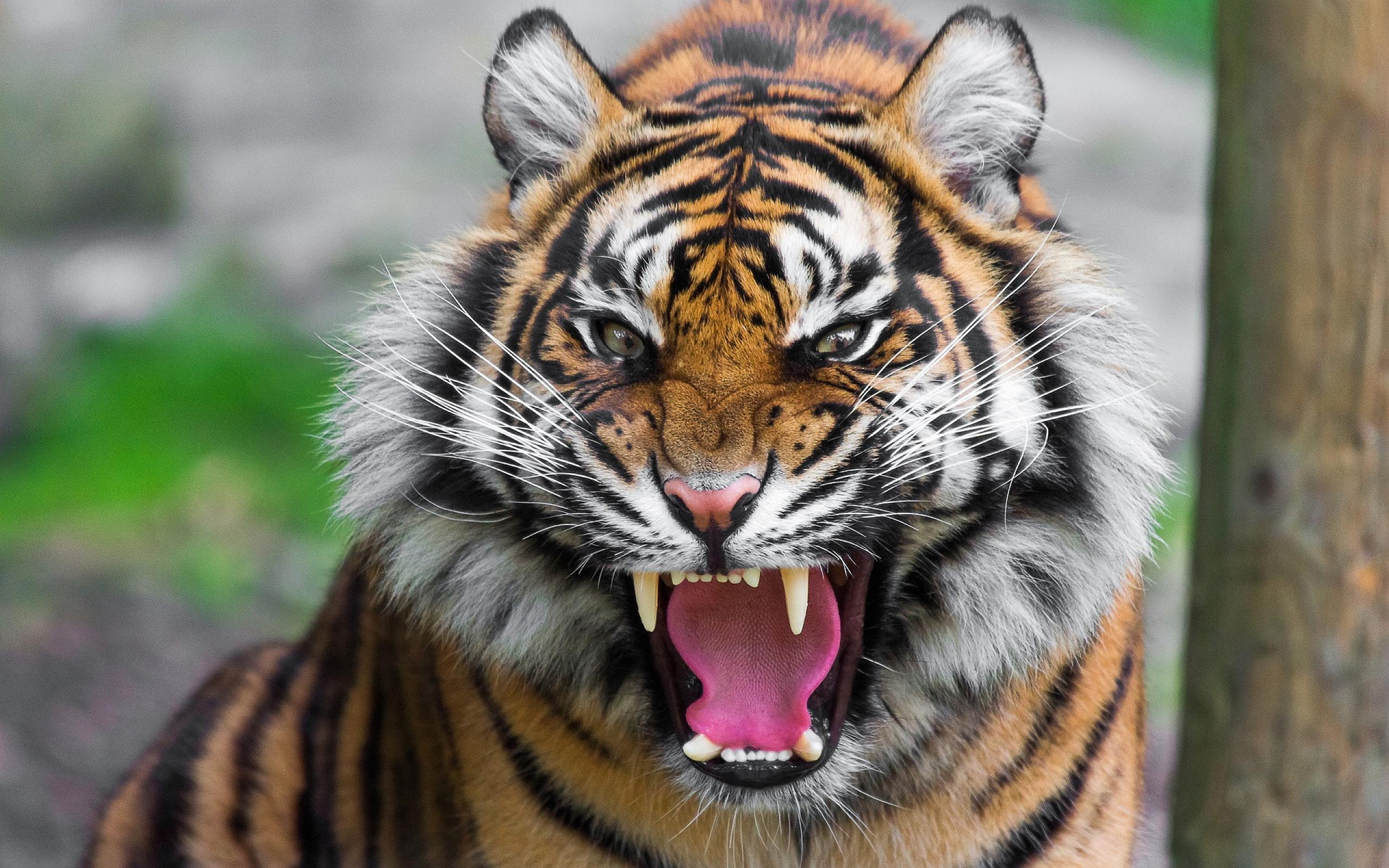 Fierce Tiger Wallpaper