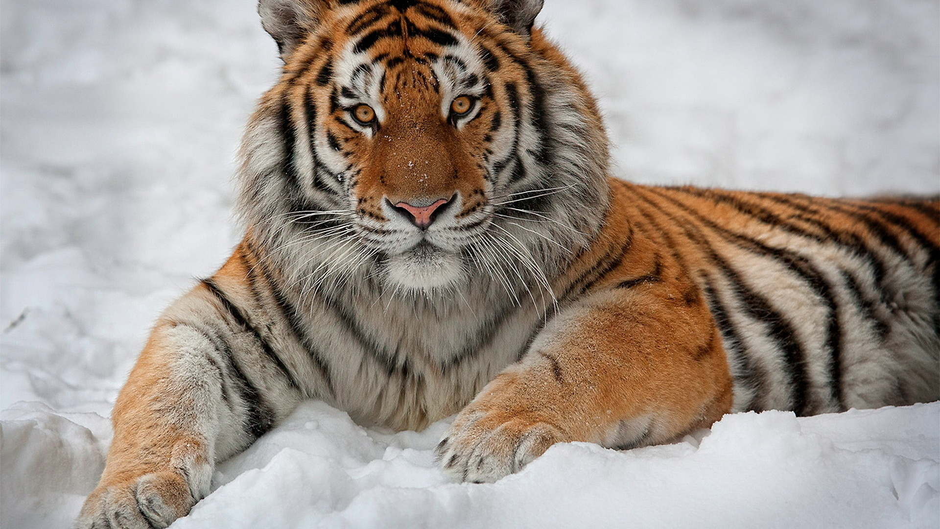 Free Tiger Wallpaper HD Download