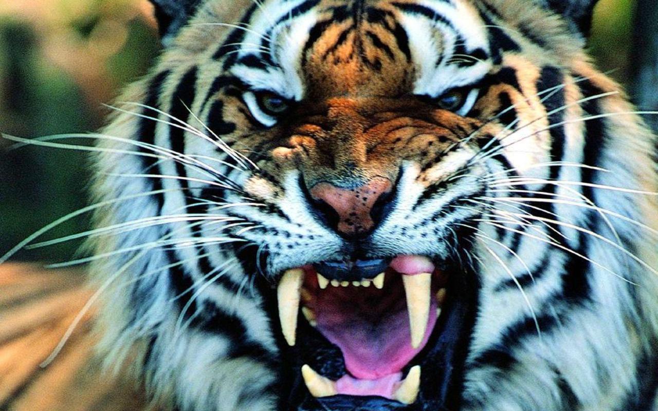 hd-tiger-wallpaper tiger-hd-wallpaper ...