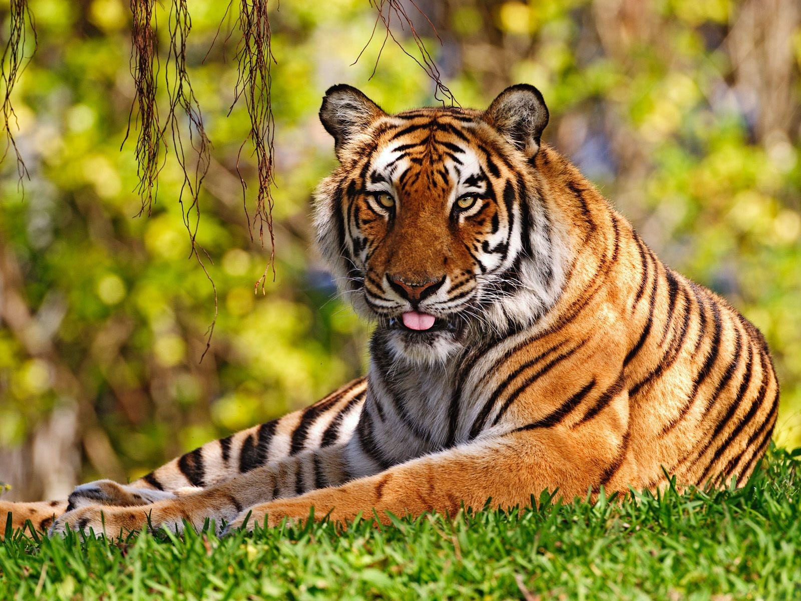Tiger relaxing on the grass in the jungle.