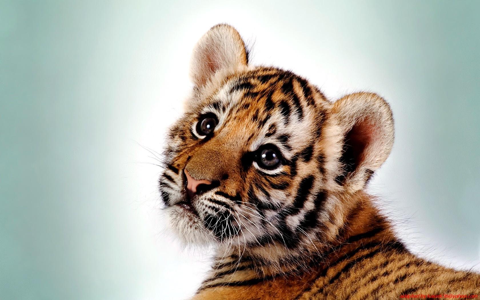 tiger wallpaper dowload