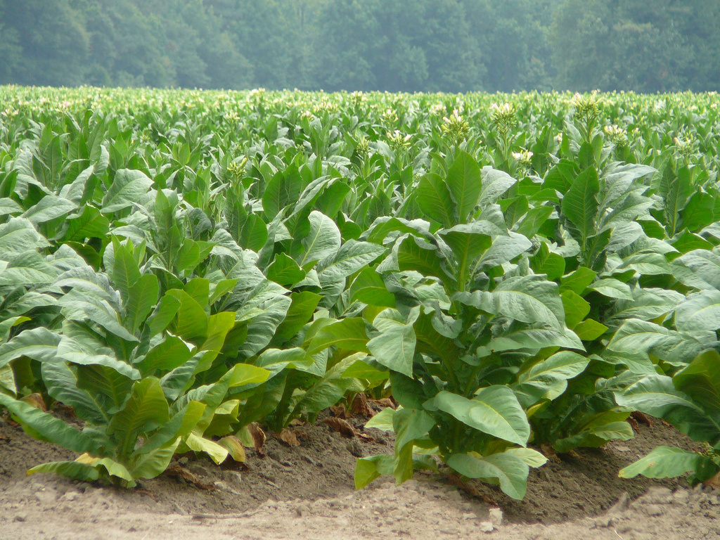 tobacco growing in a field
