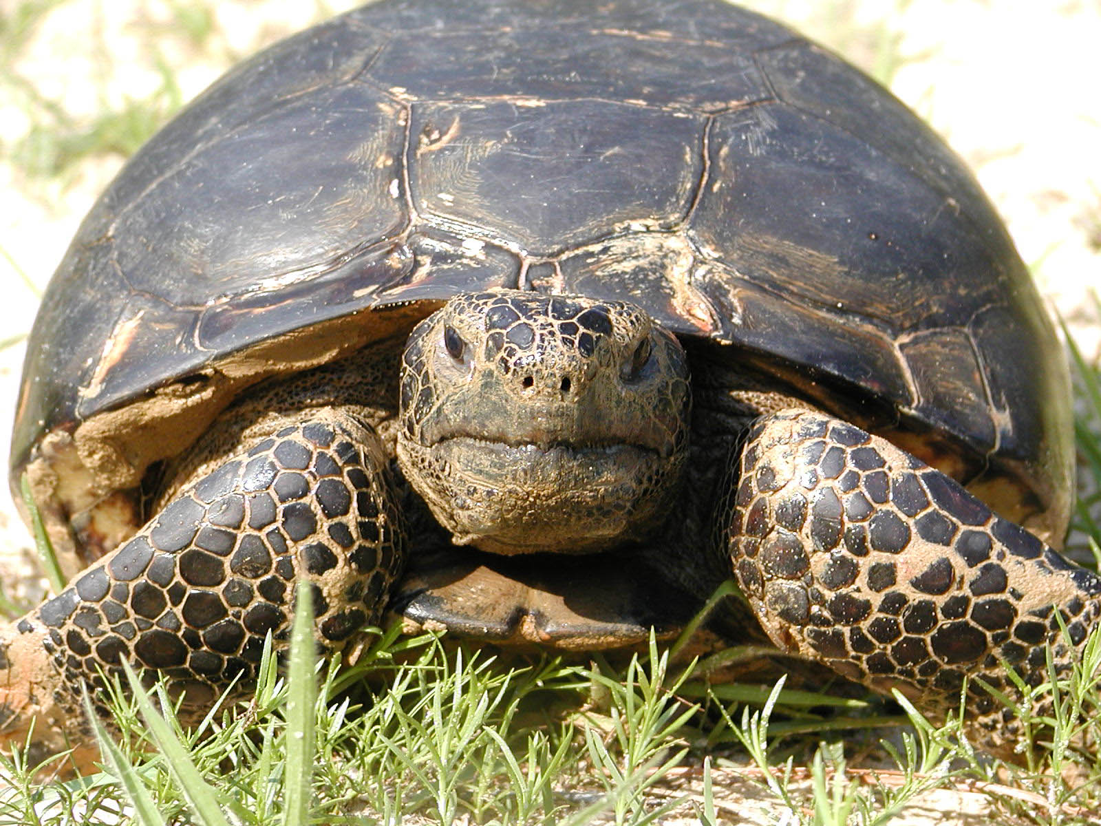 Photo of adult gopher tortoise - Randy Browning/USFWS