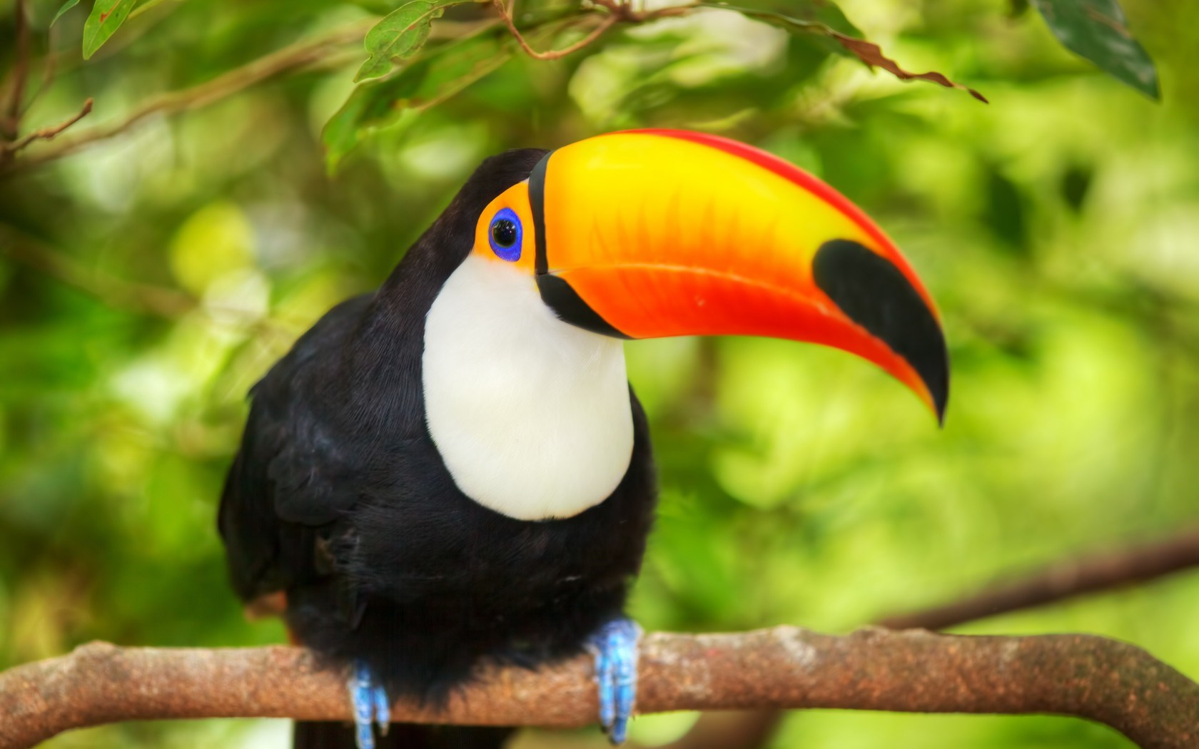 Toucan Bird Nature HD Wallpaper