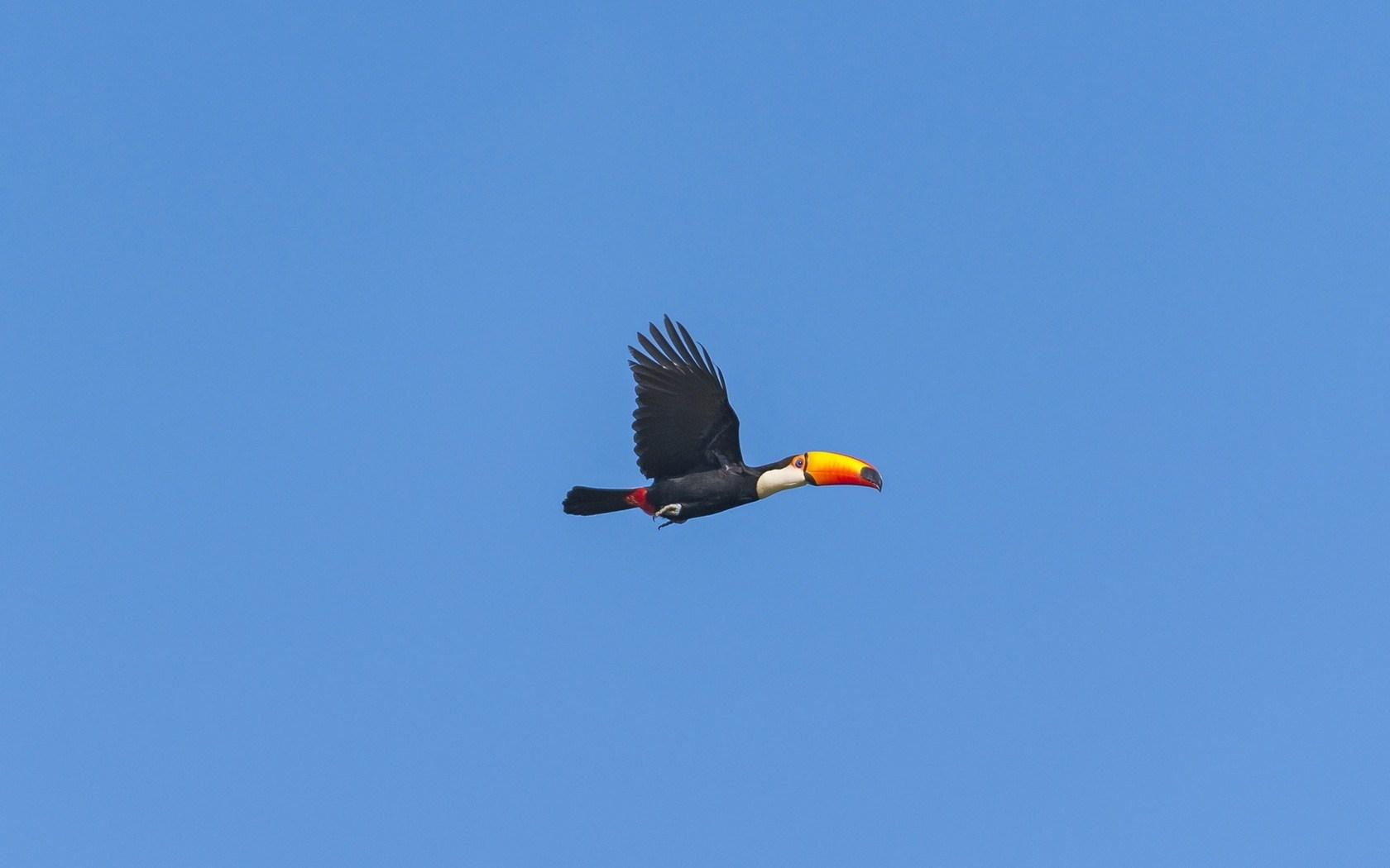 Toucan Bird Flying Sky