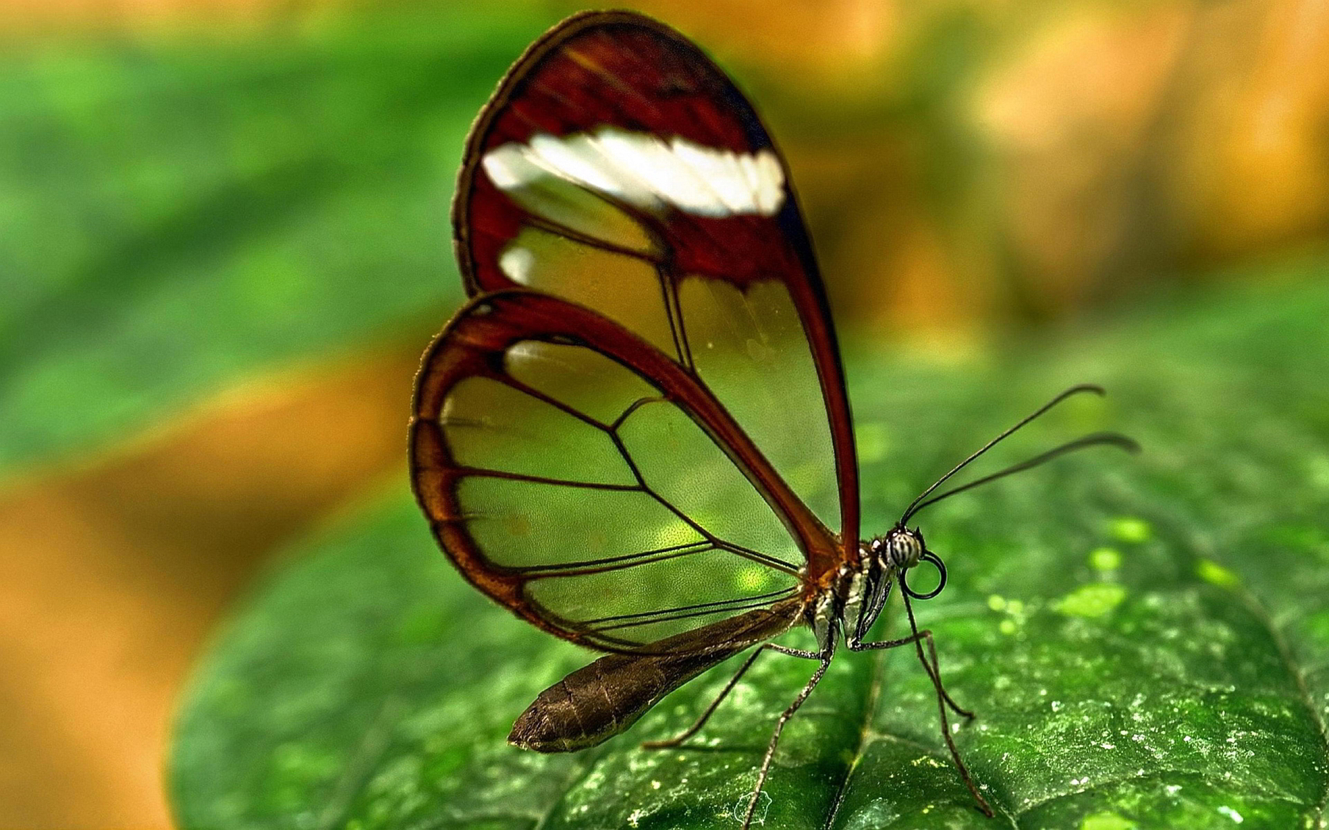 Butterfly Transparent Wings