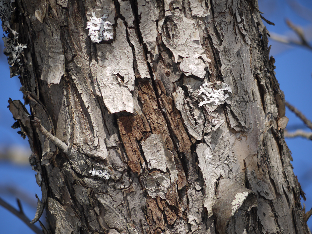 Maple Tree Bark Disease – Diseases On Maple Trunk And Bark
