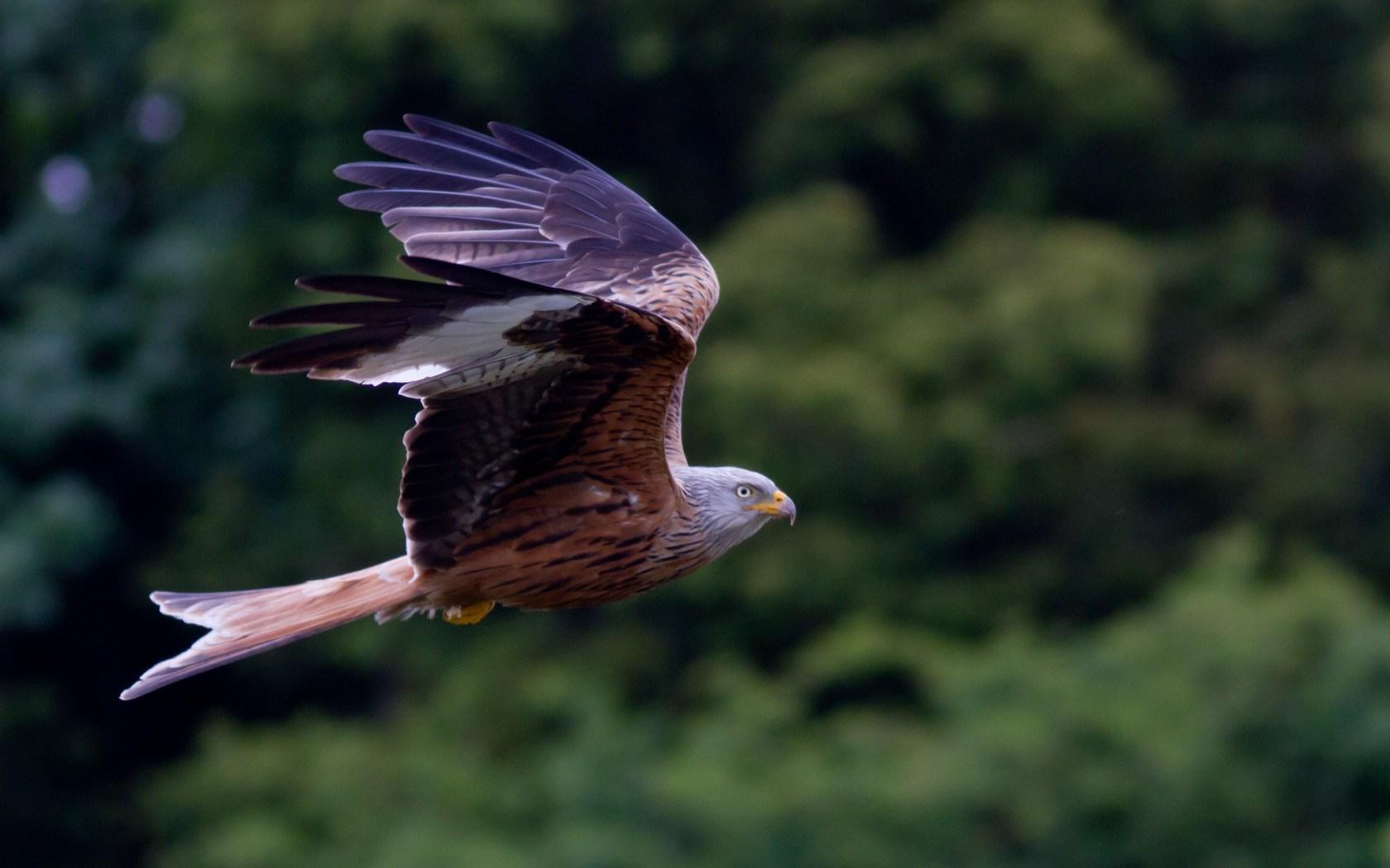 Red Kite Bird of Prey
