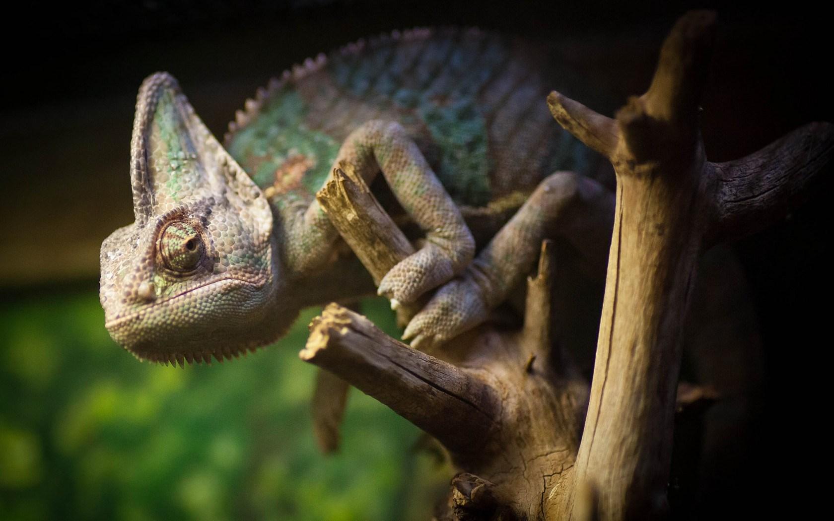 Tree Dry Chameleon