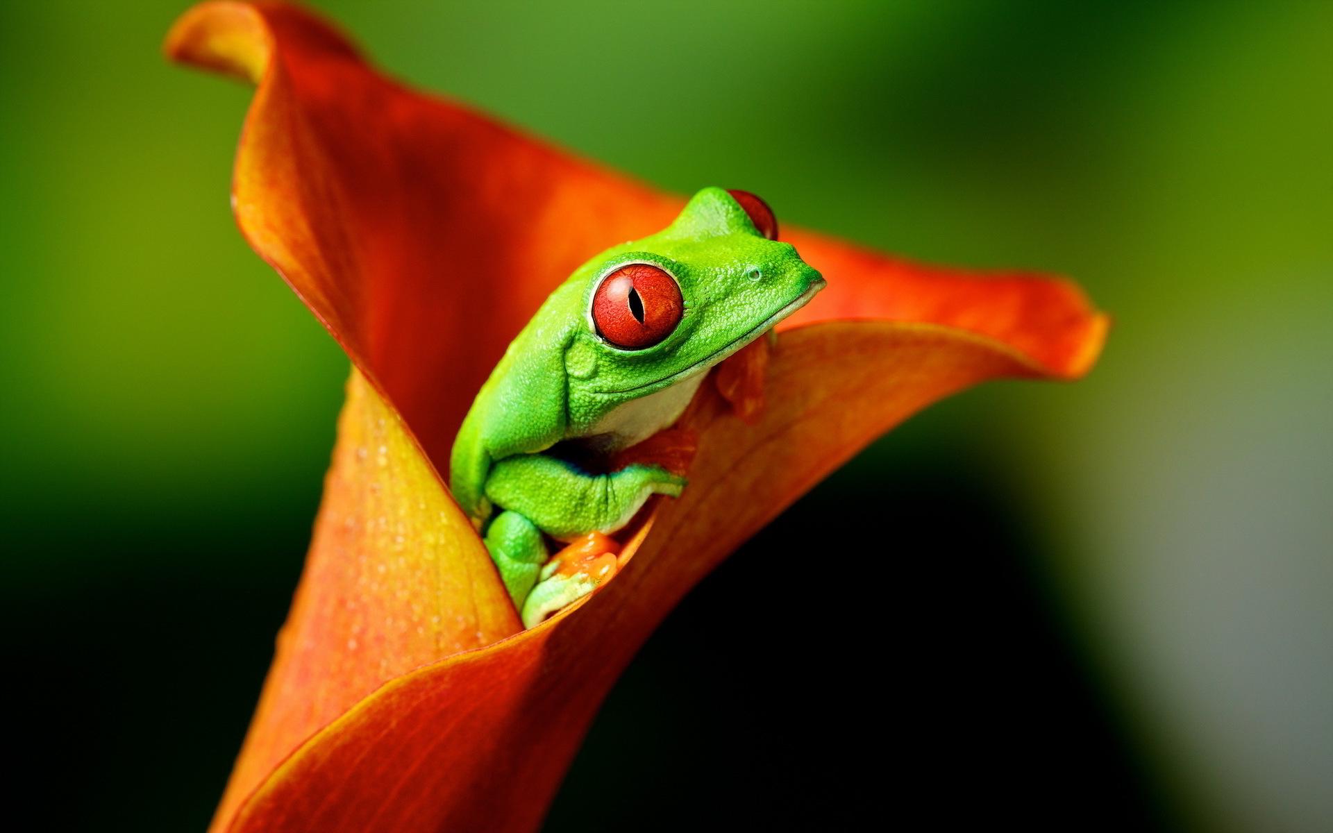 Tree frog hd