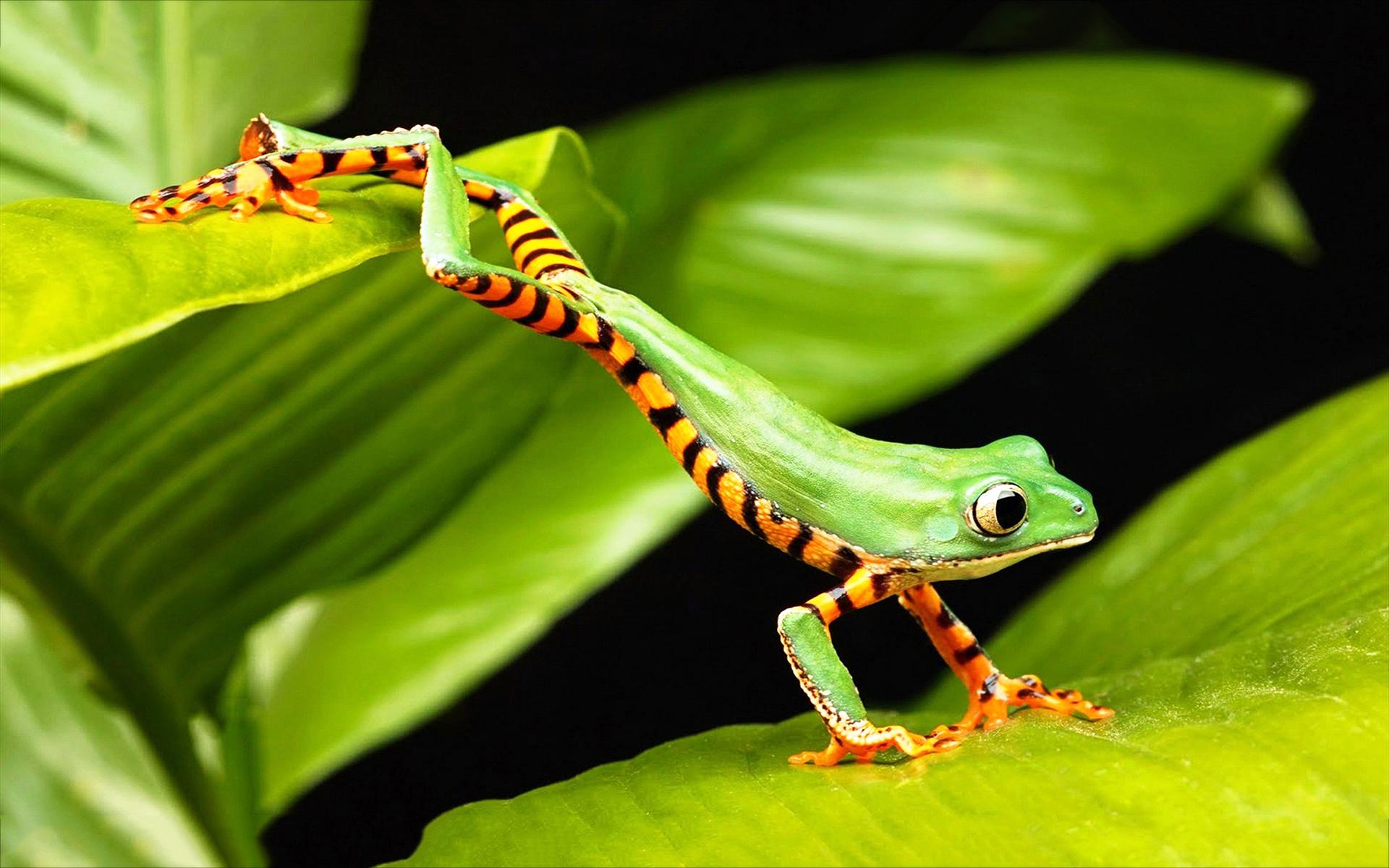 Tree frog jump