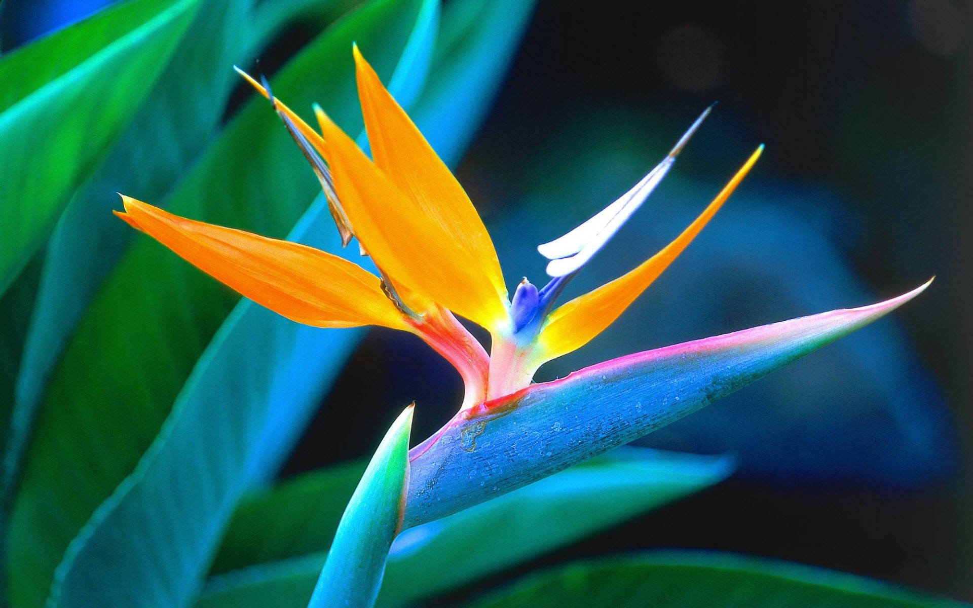 bird of paradise desktop wallpaper