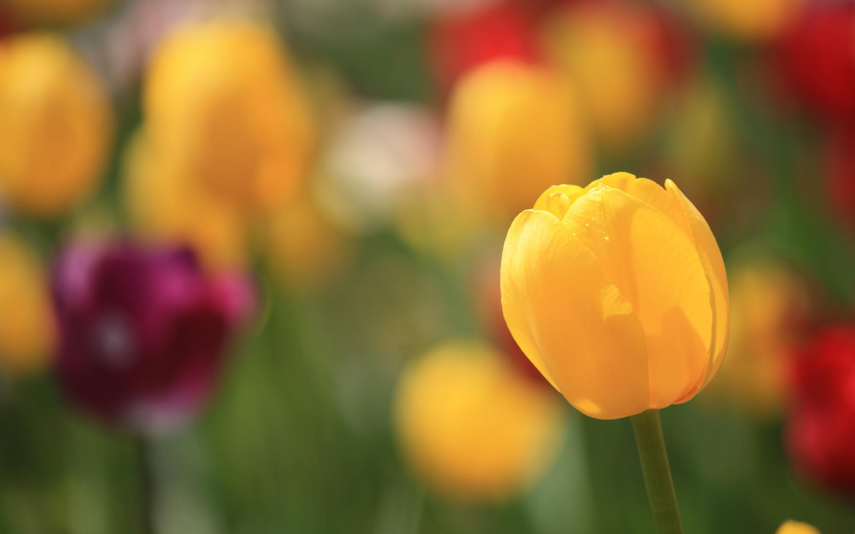 Tulip bud yellow