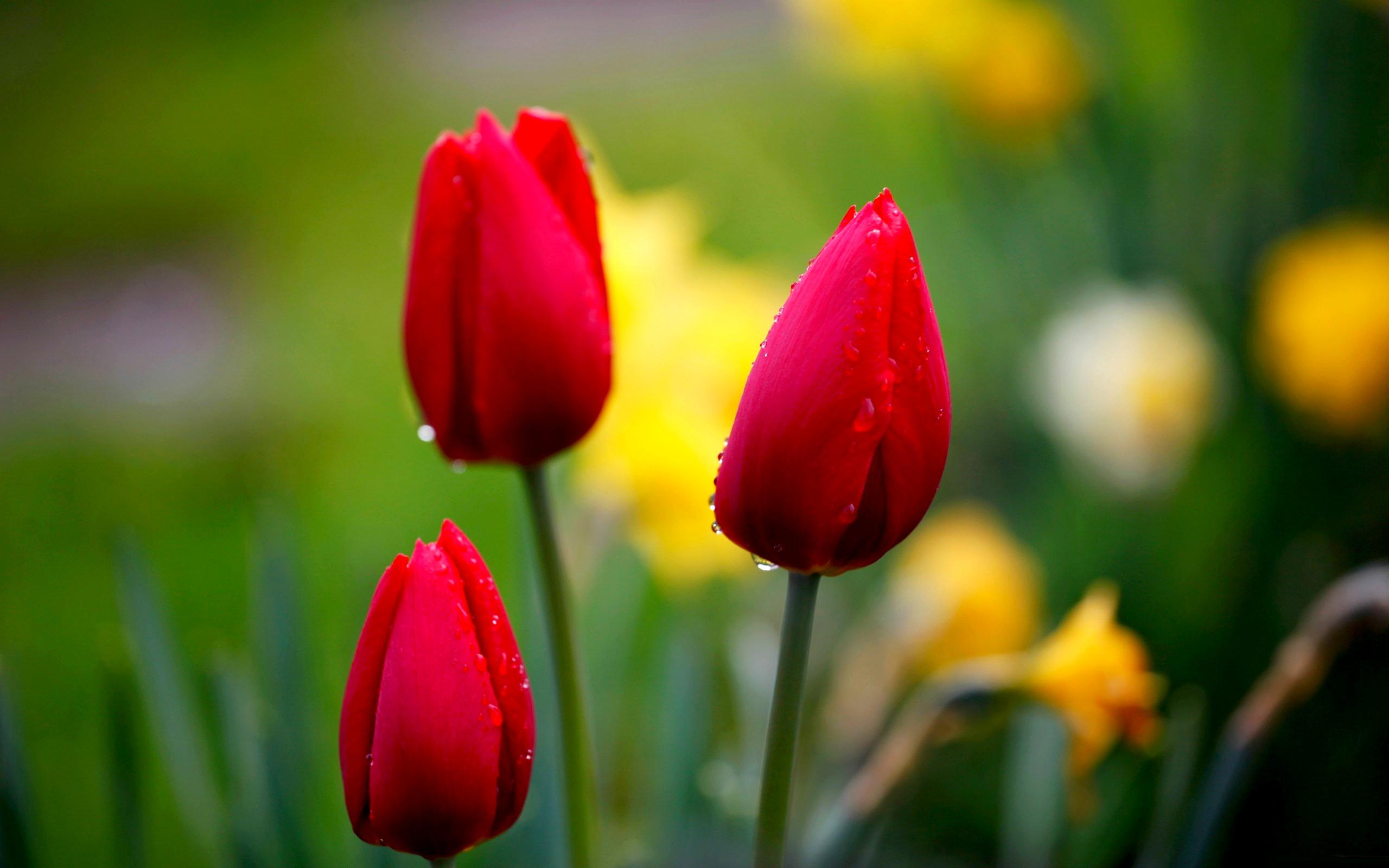 Tulip buds HQ WALLPAPER - (#89820)