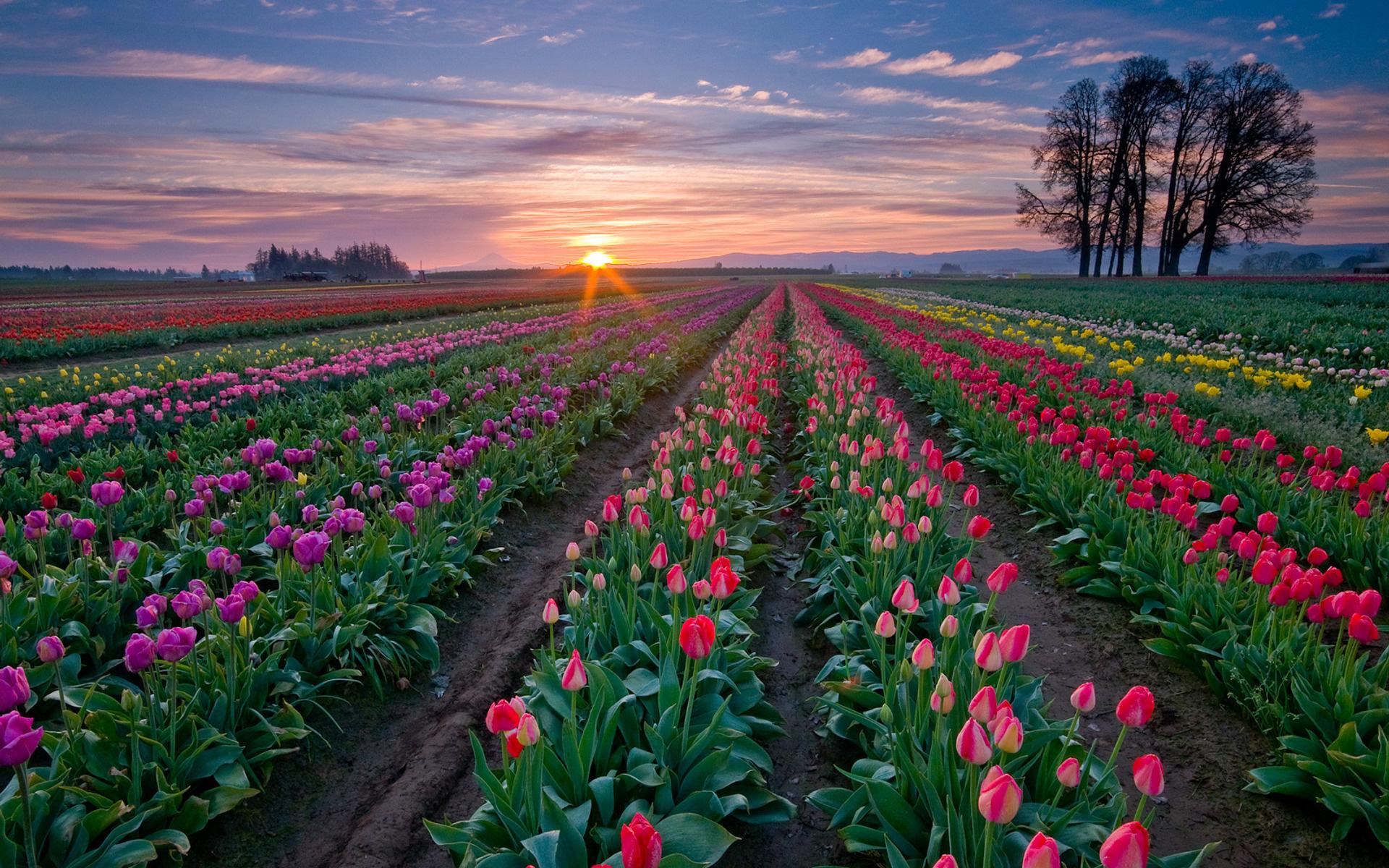 Amazing Tulip Field Wallpaper