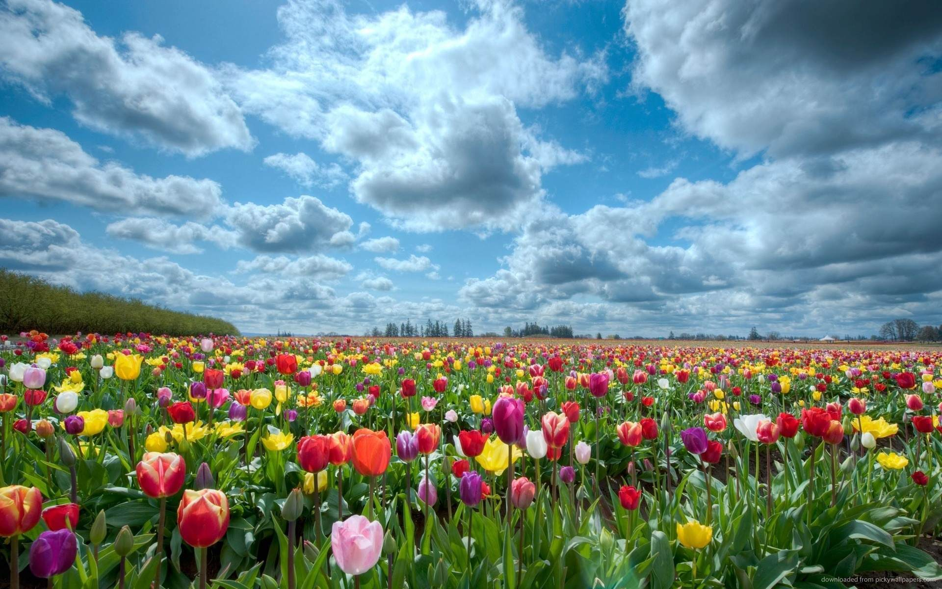 Tulip Field Wallpaper