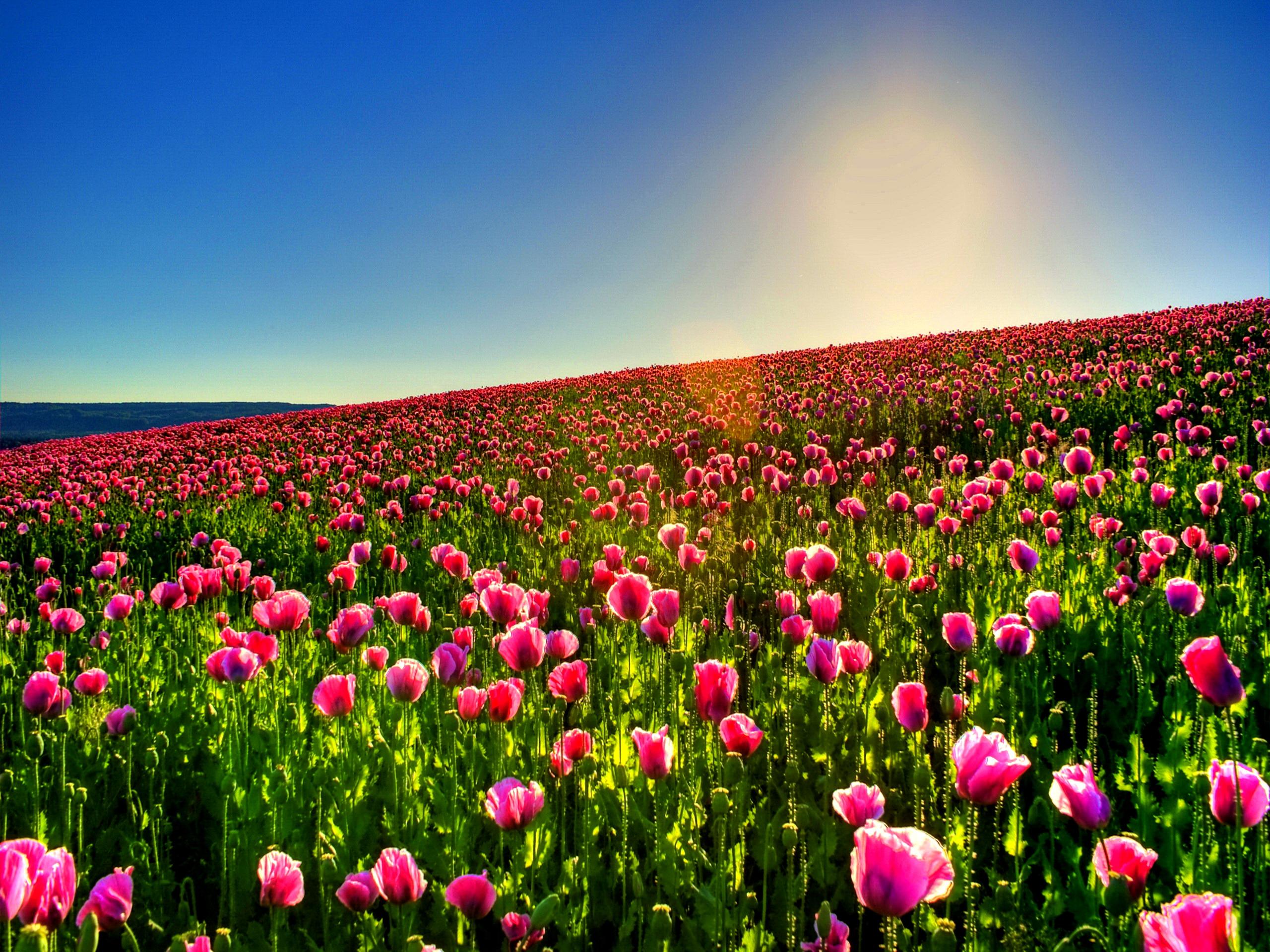 Lovely Tulip Field Wallpaper