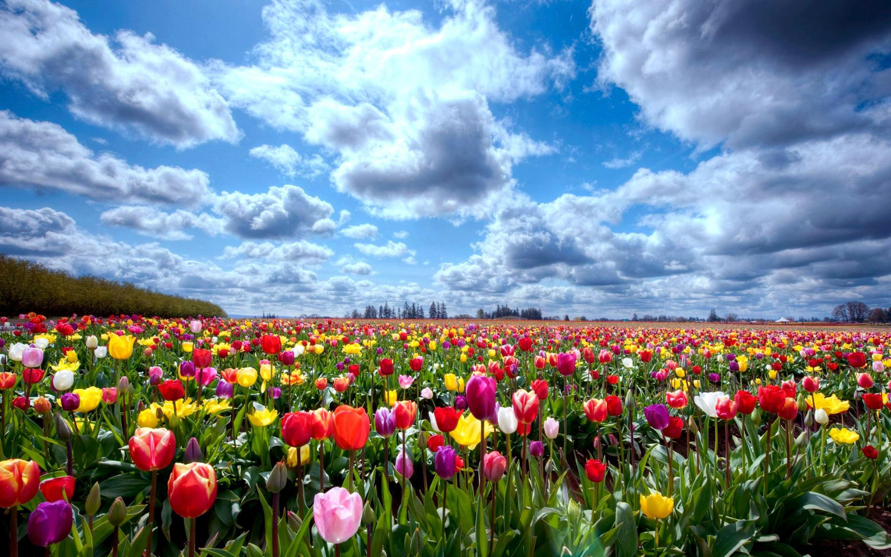 tulip fields tulips field flower flowers wallpaper background