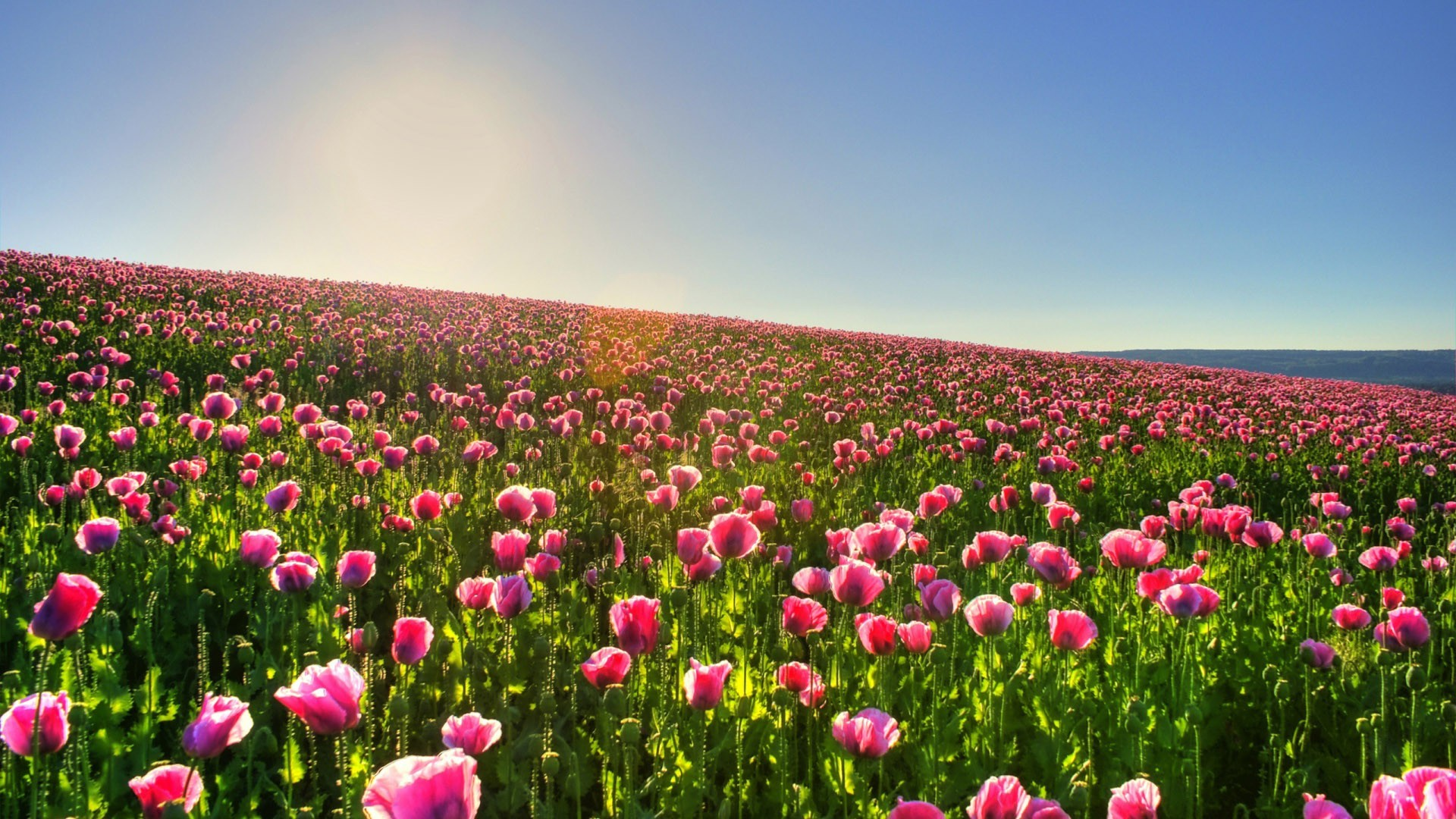 Tulip Fields 27 HD Image