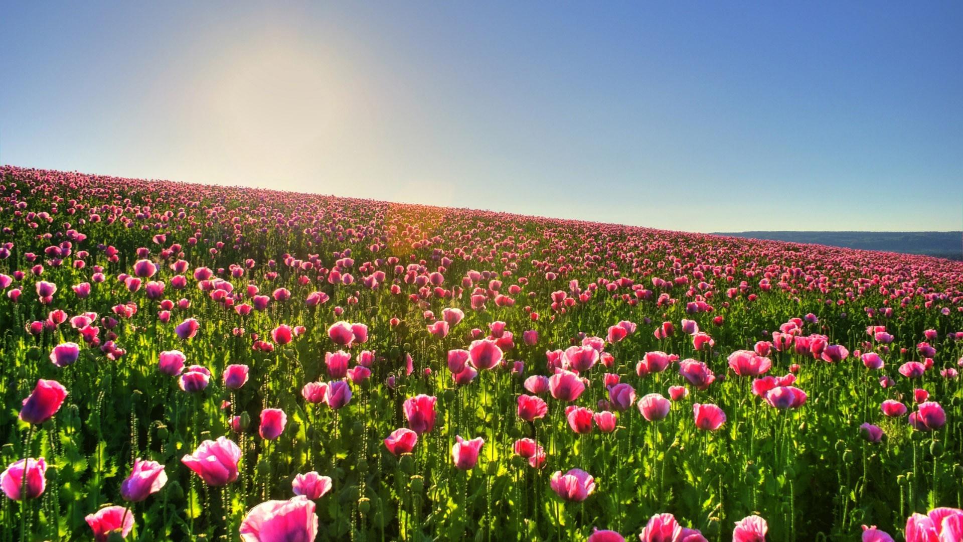 Tulip Fields 27 HD Image