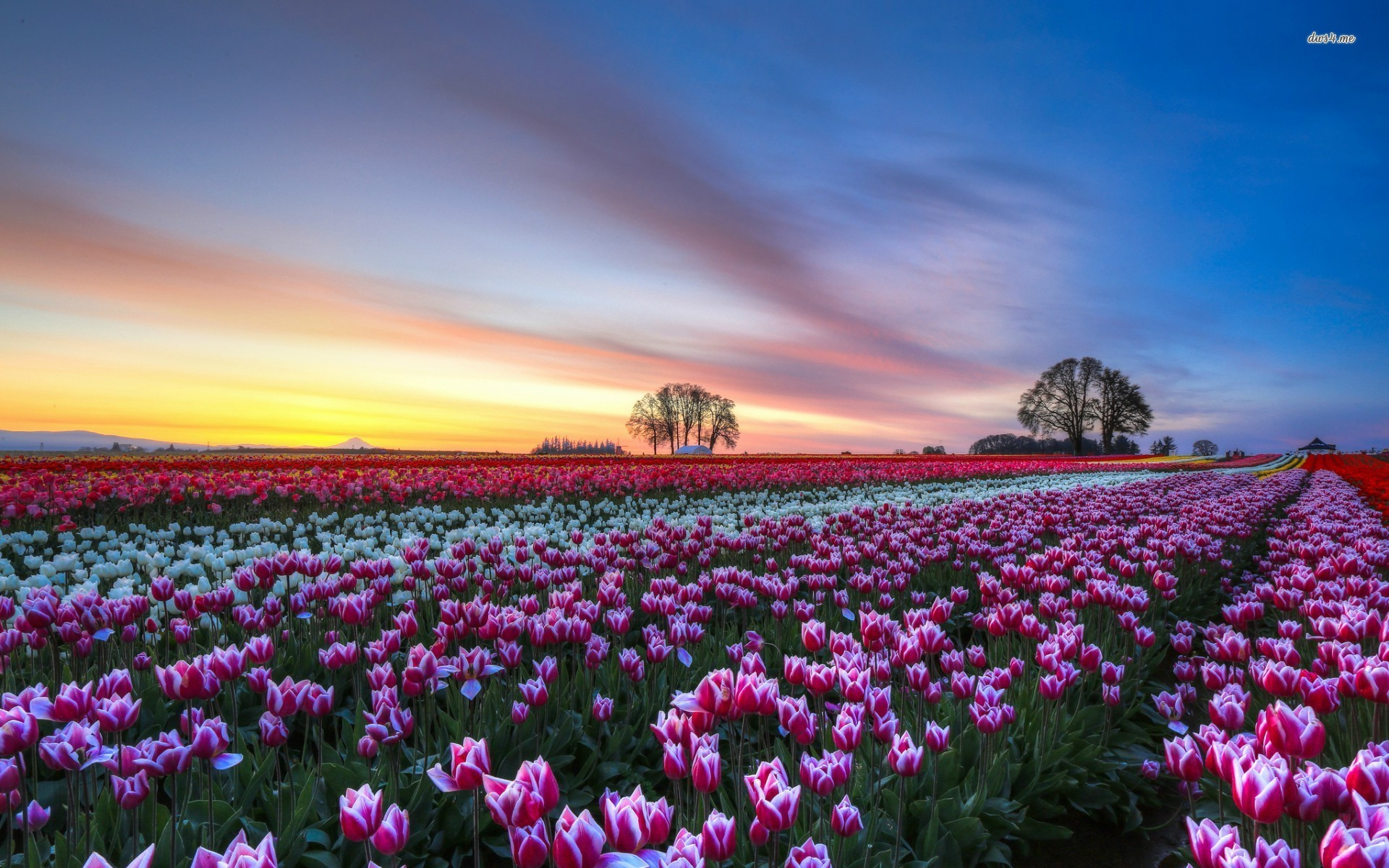 Tulip Fields 12 HD Wallpaper