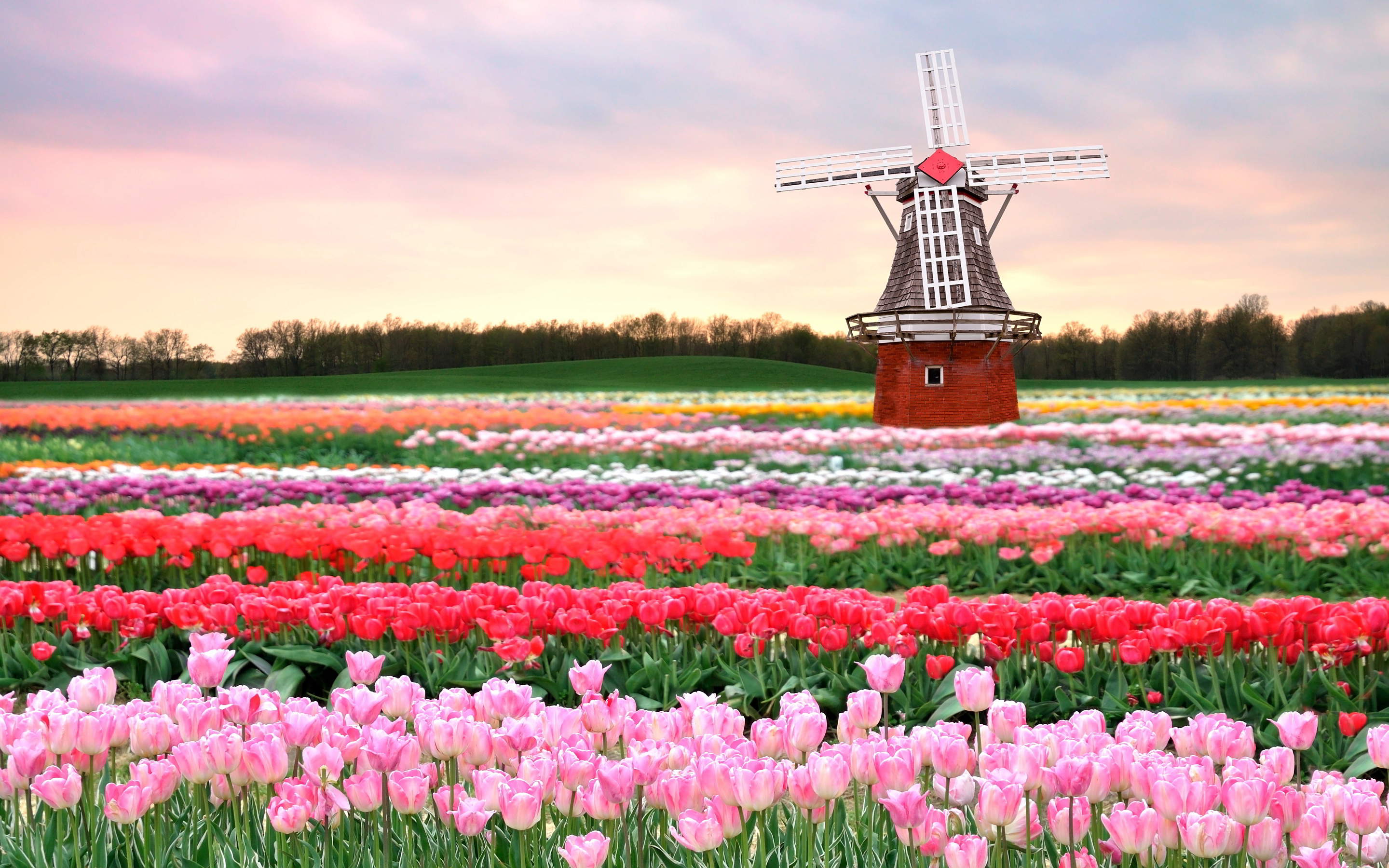 Netherlands Tulip Fields - paradise of flowers