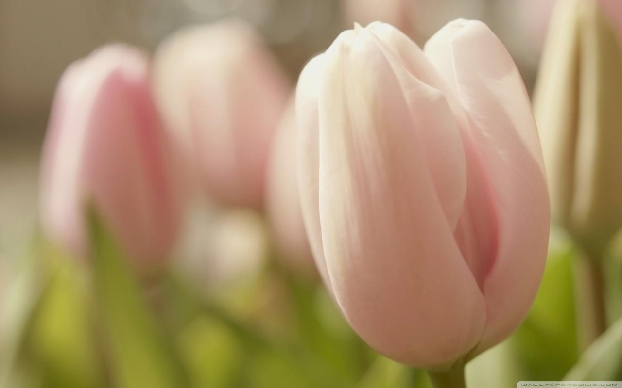 Tulip macro hd