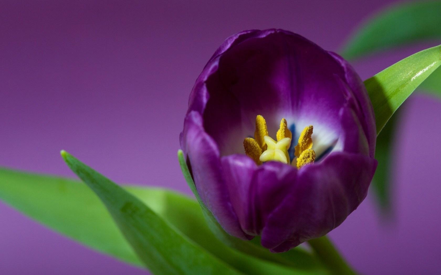 Tulip Petals Purple