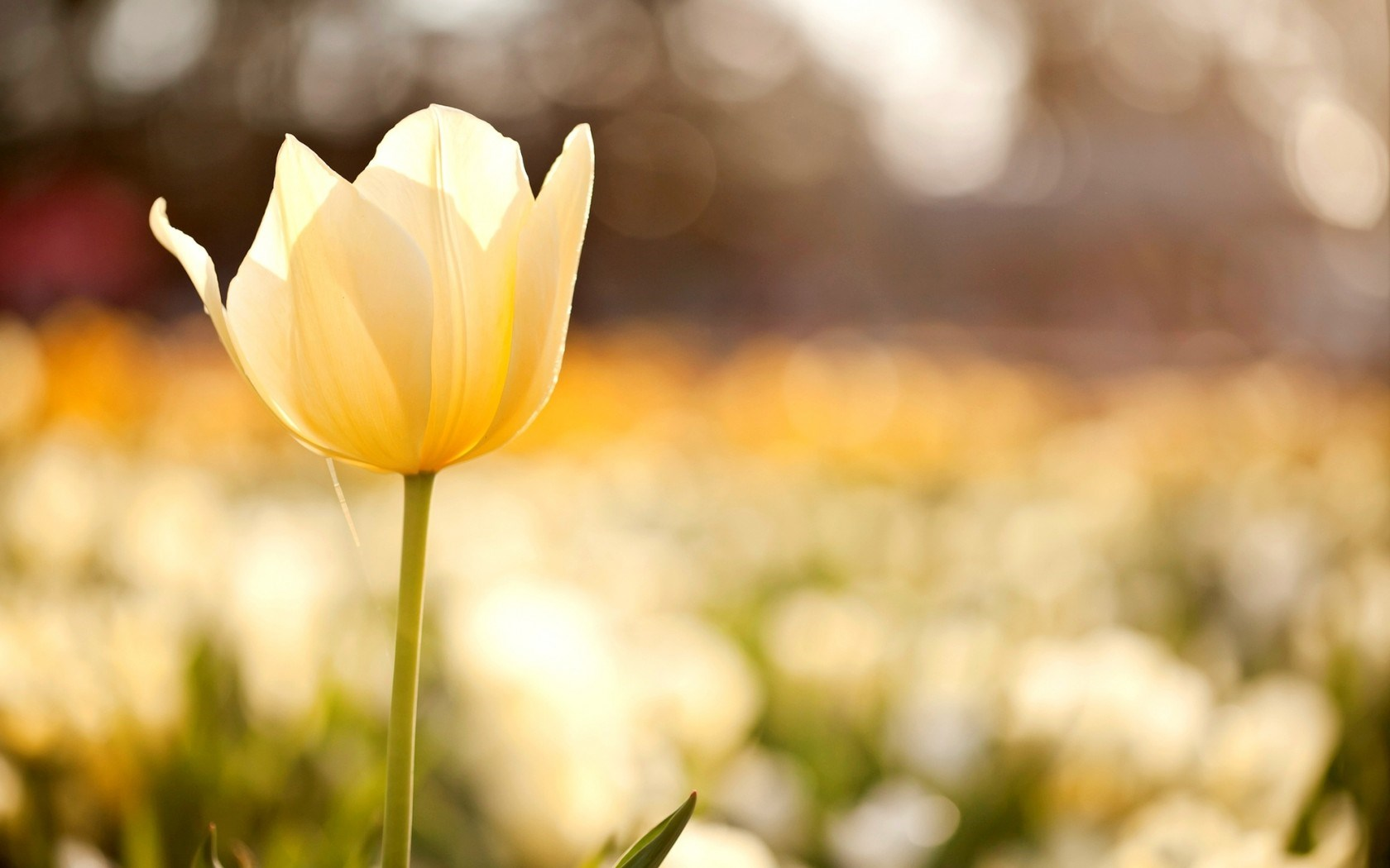 Tulip Yellow Flower Field Macro Nature