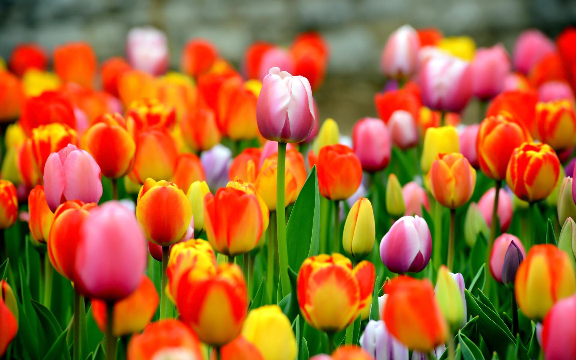 Field of tulips HQ WALLPAPER - (#154593)