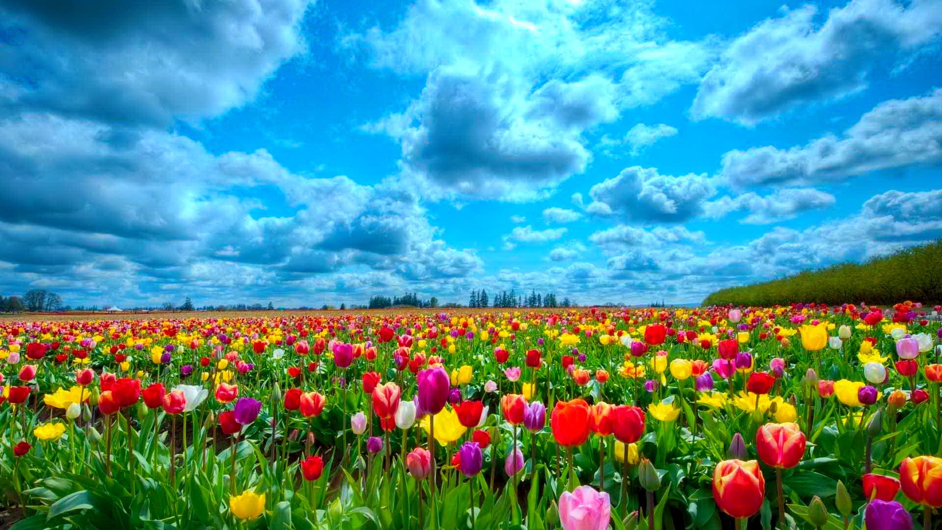 Tulips Natural 22 Thumb
