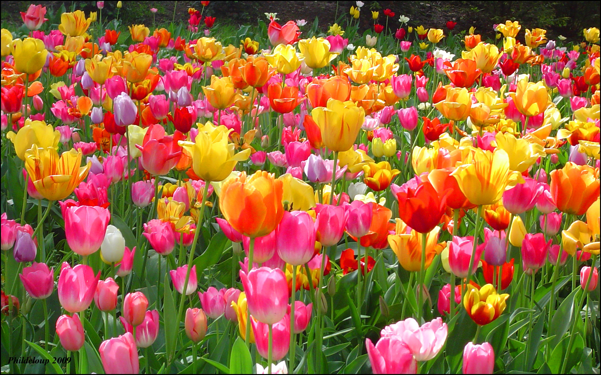 Tulips-tulips-28594078-1920-1200