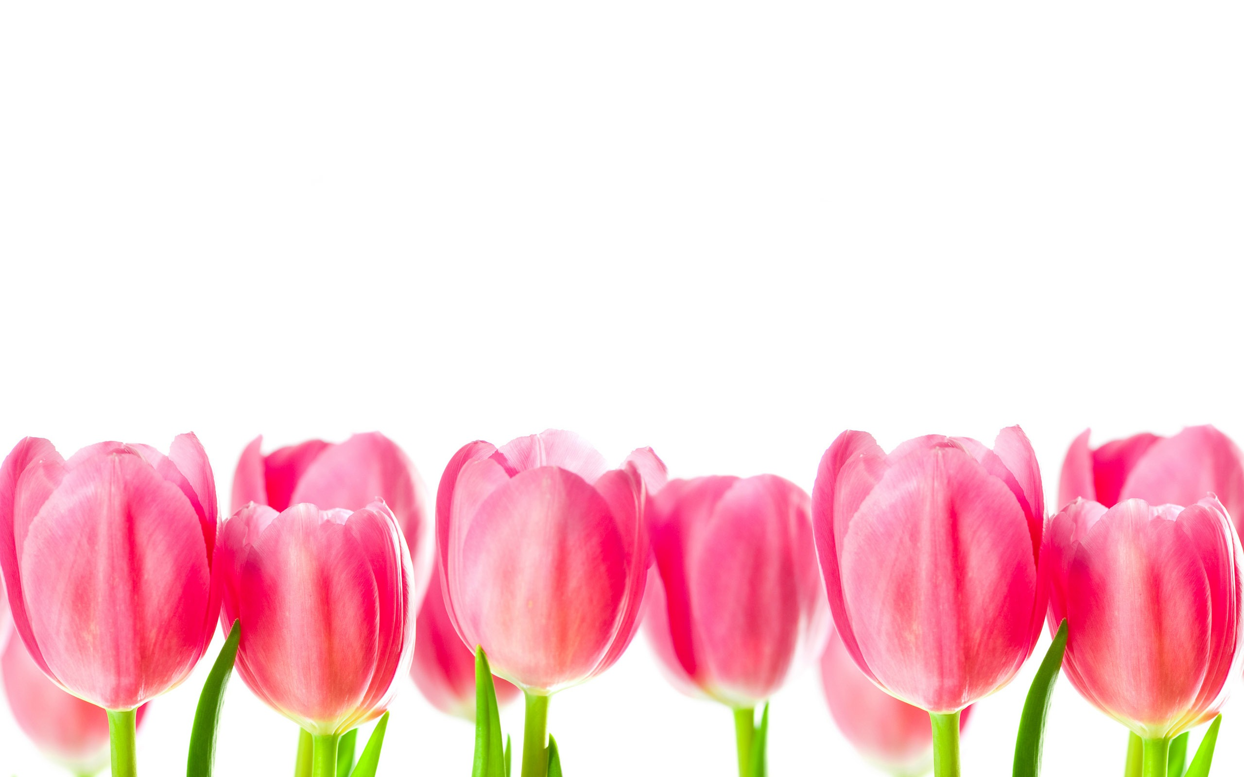 Beautiful Tulips HD wallpapers