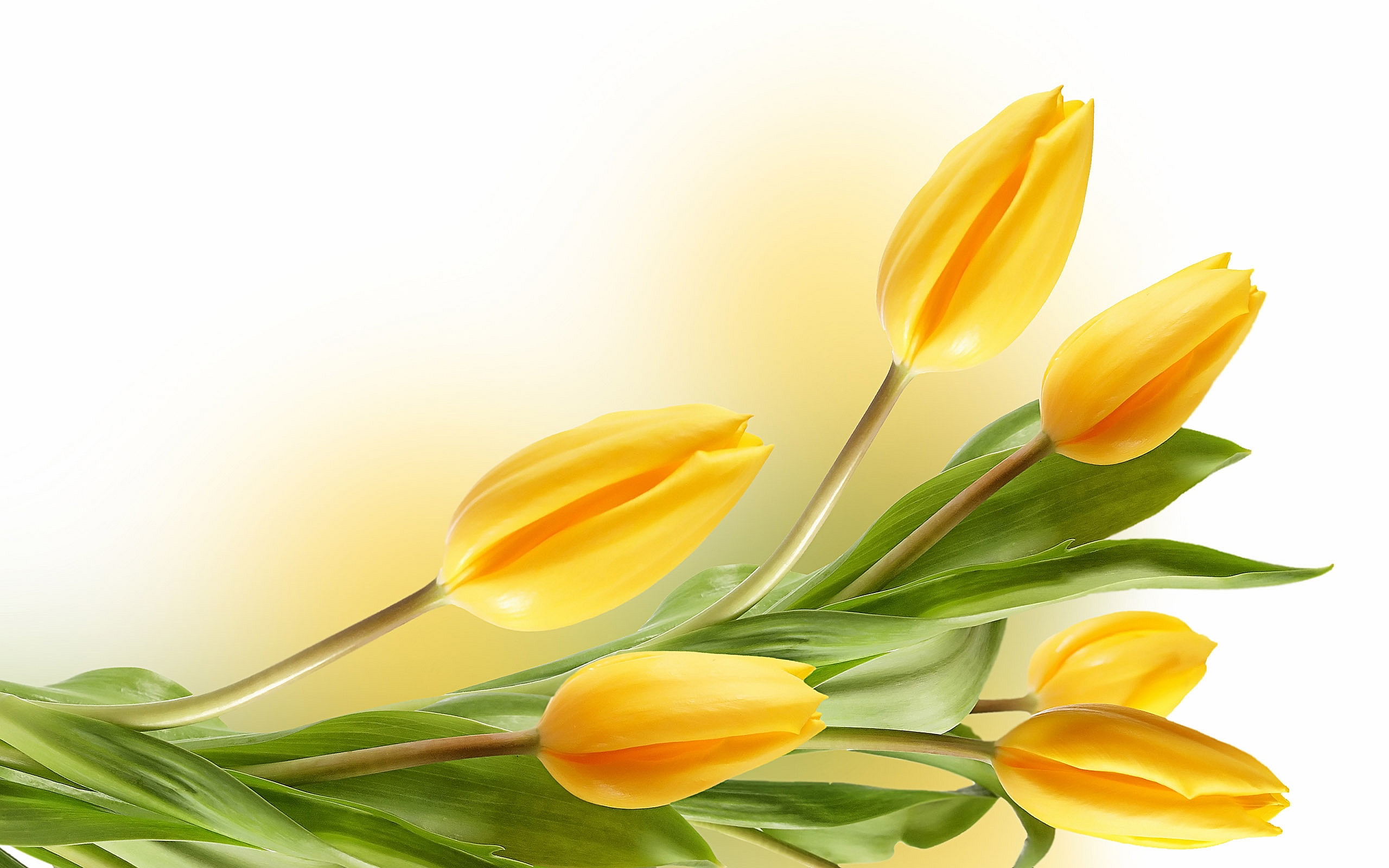Description: The Wallpaper above is Tulips Yellow Wallpaper in Resolution 2560x1600. Choose your Resolution and Download Tulips Yellow Wallpaper