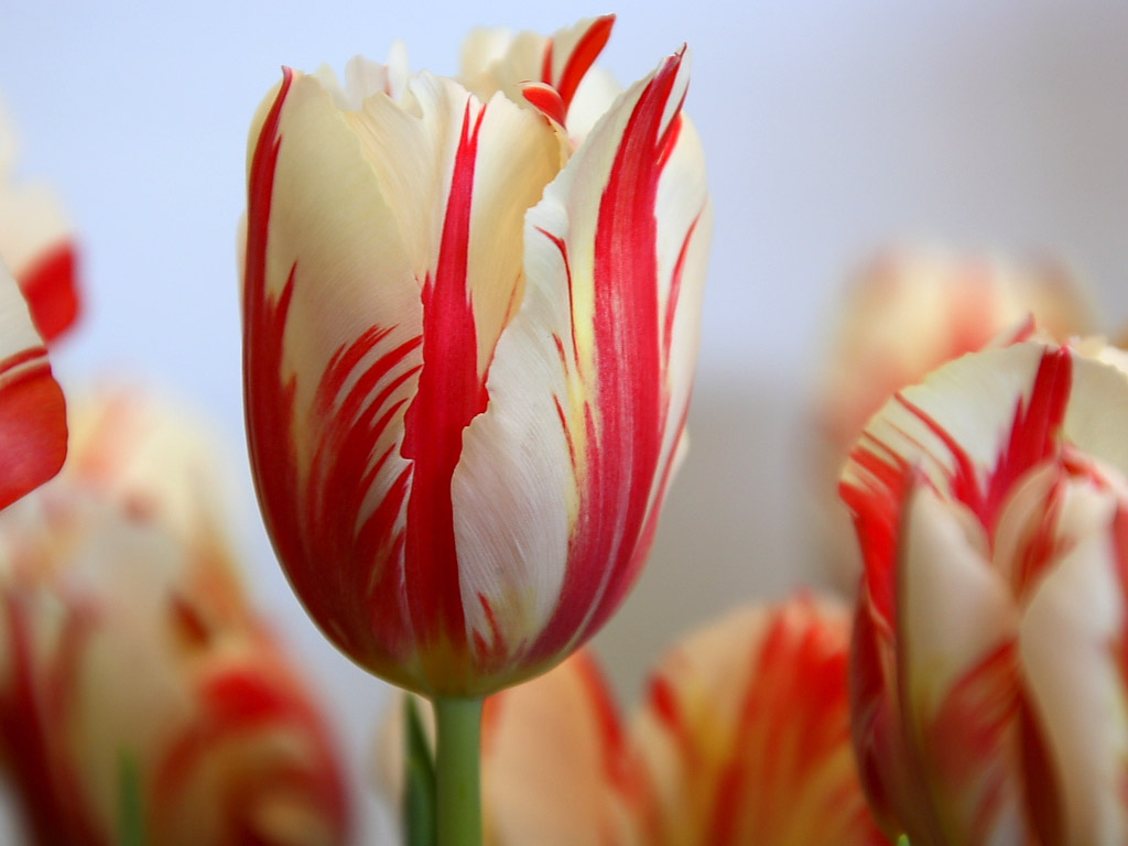 red striped tulip hd wallpapers cool desktop background images widescreen