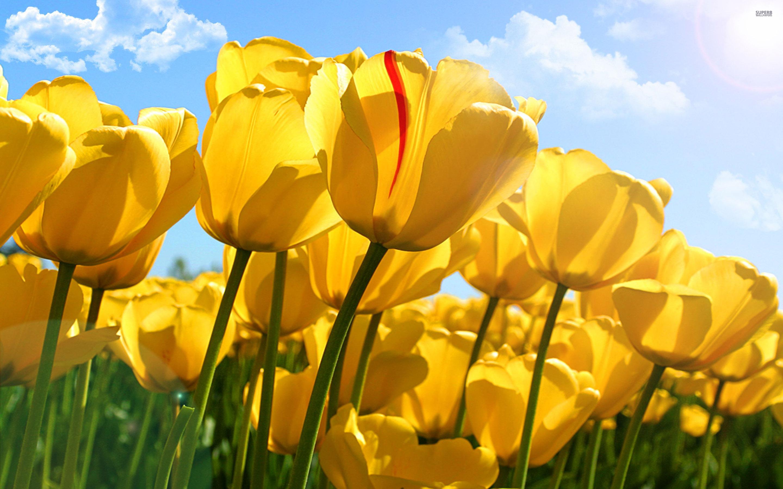 Yellow tulips wallpaper 2880x1800 jpg