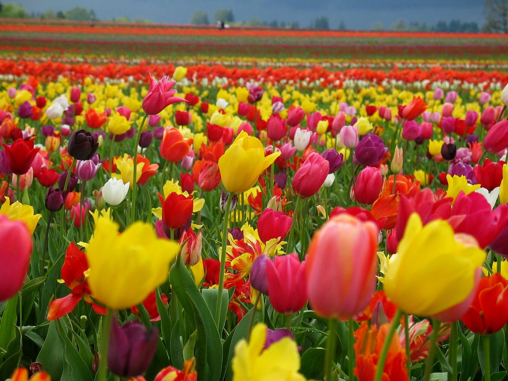 """(Right click the tulip wallpaper and """"save target as"""" to save for your wallpaper.)"""