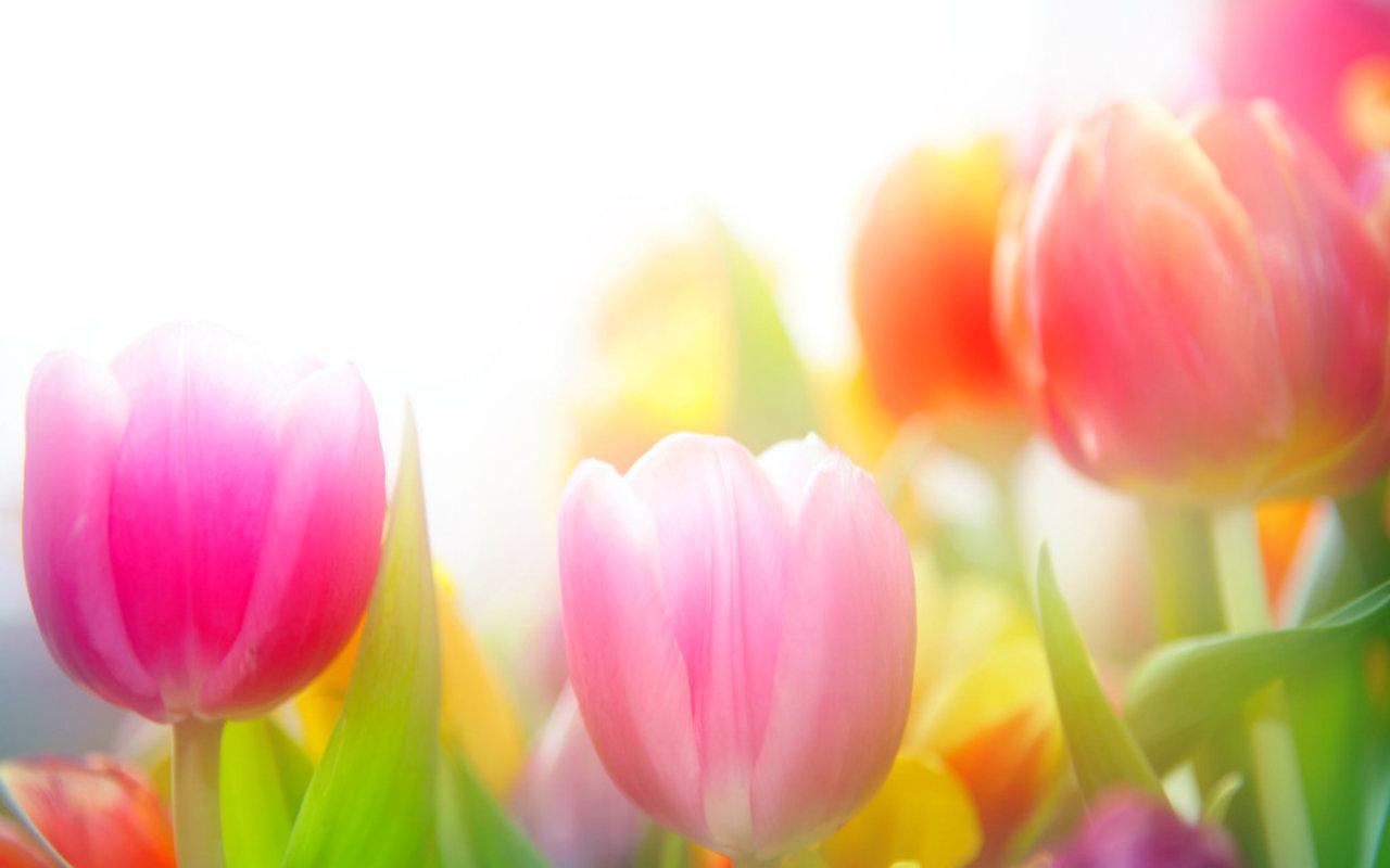 Tulips HQ WALLPAPER - (#95239)