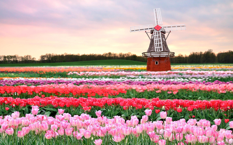 Tulips field holland