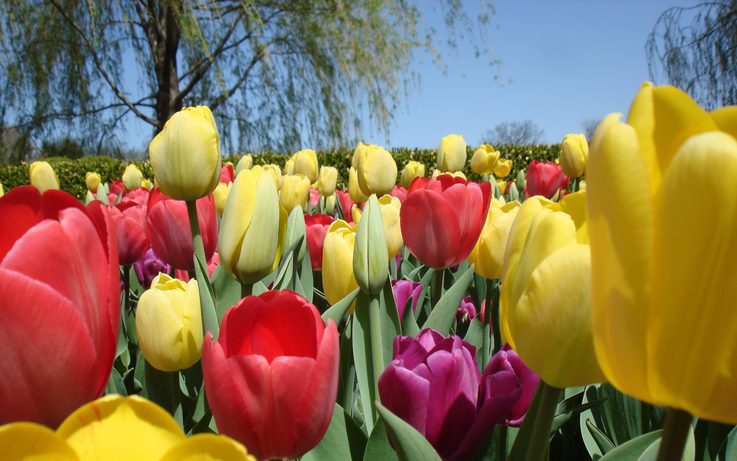 Tulips field summer
