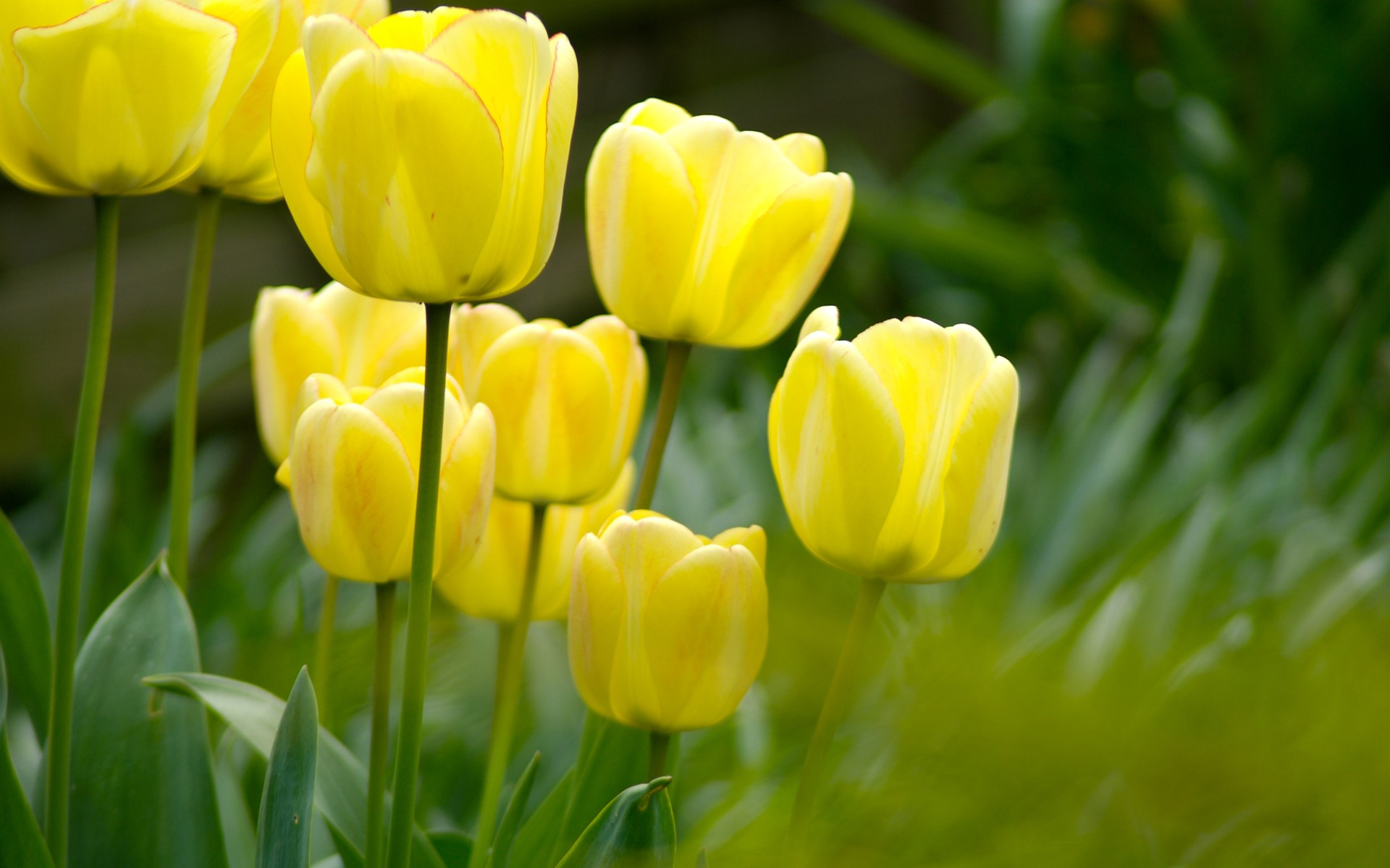 Background animated tulips flowers yellow images