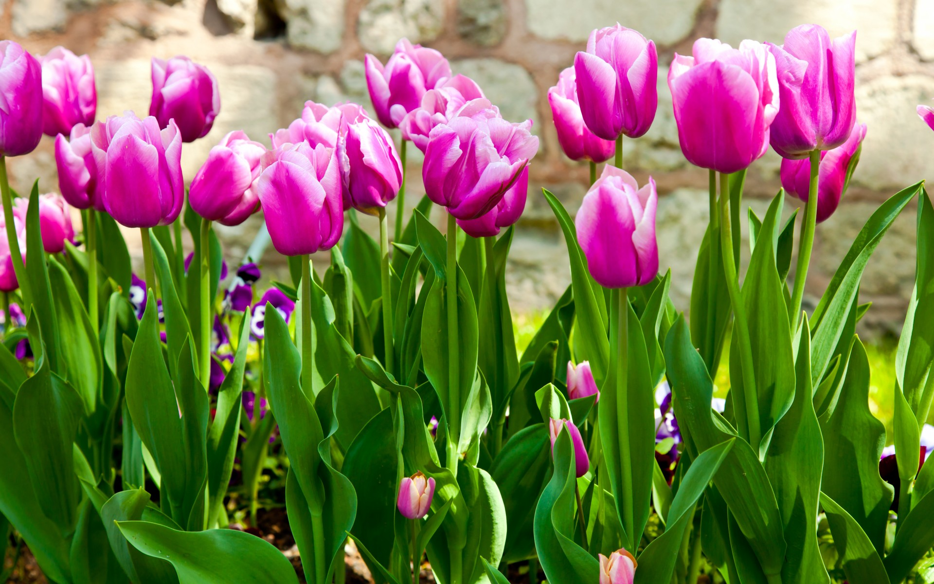 tulips purple stems leaves garden flowers spring wallpaper background
